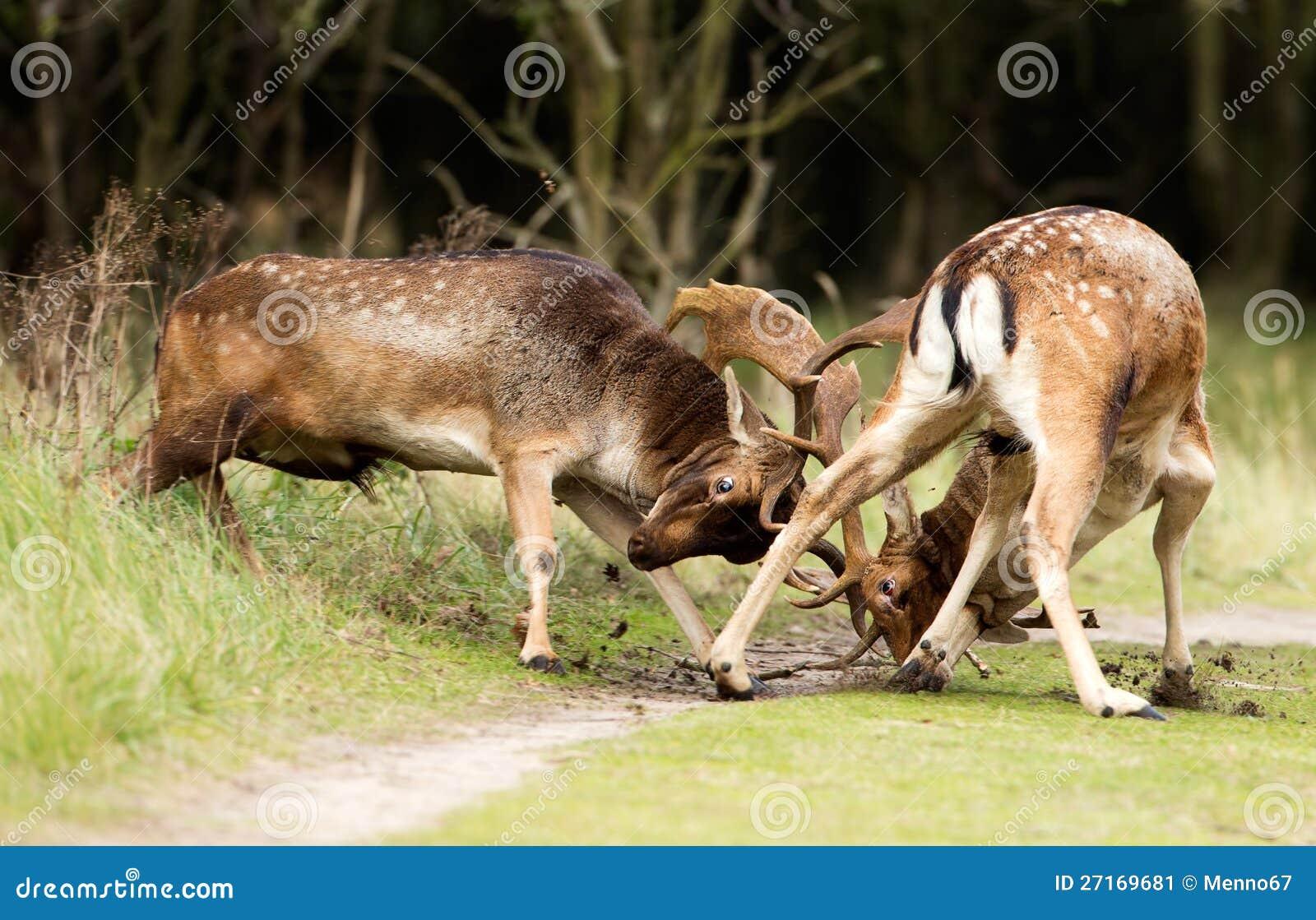Cervos de Fallow da luta