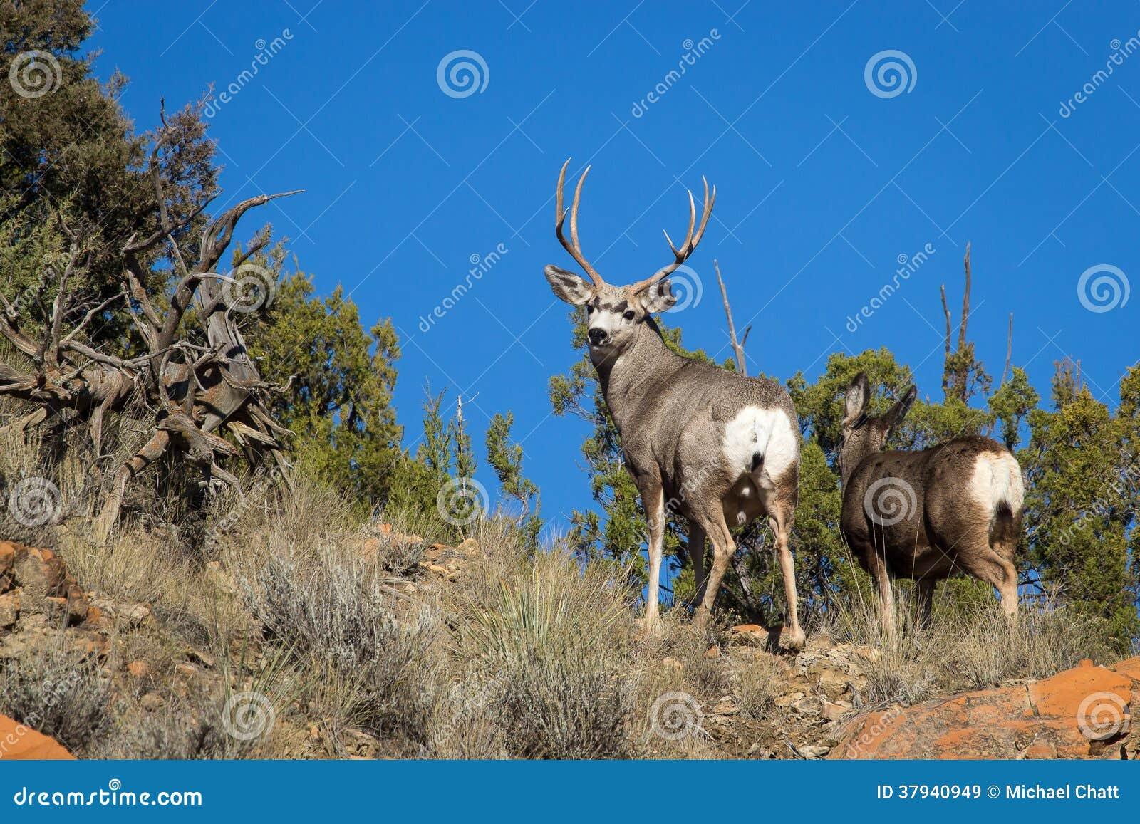 Cervos de mula