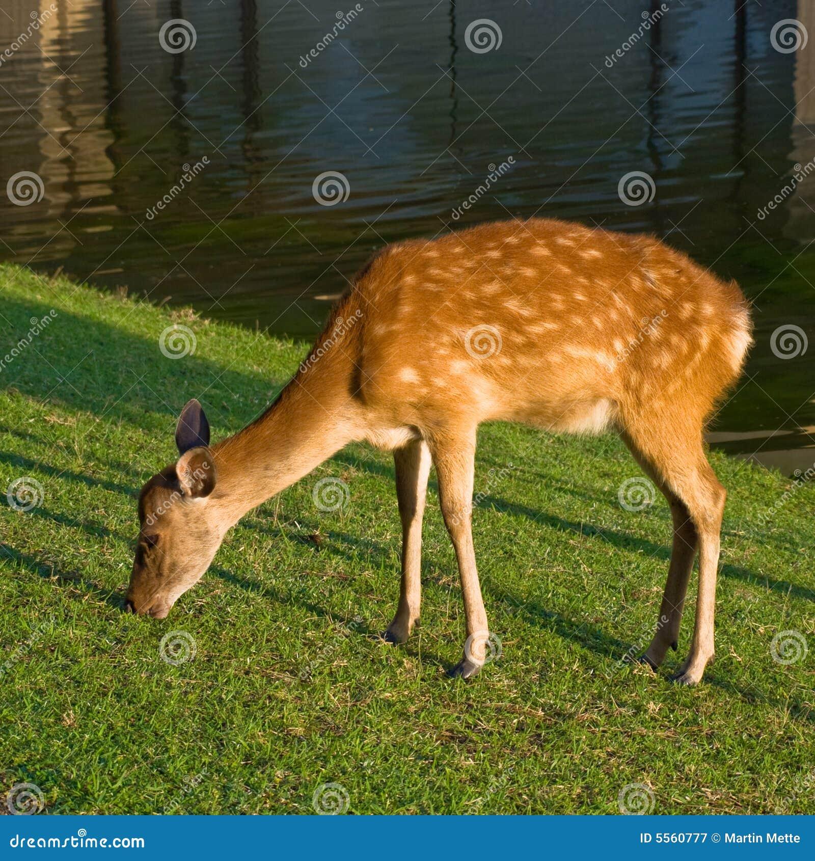 Cervos de Nara que pastam