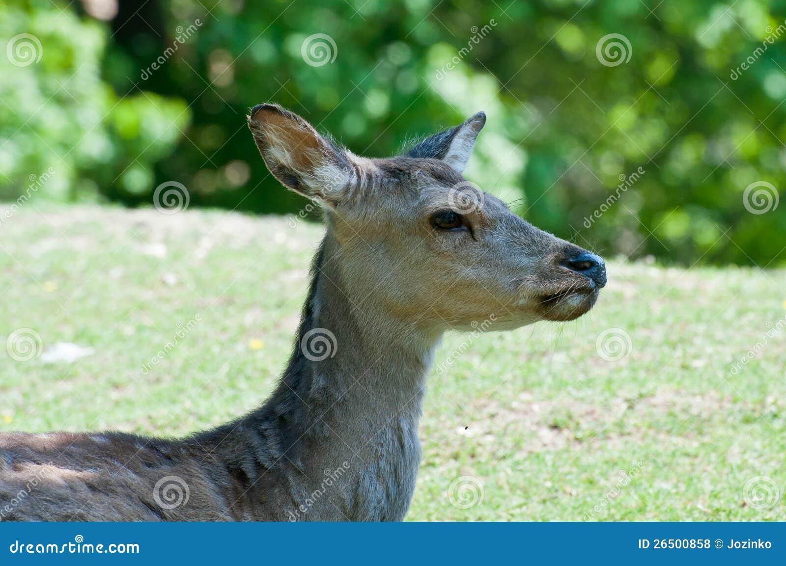 Cervos de ovas fêmeas