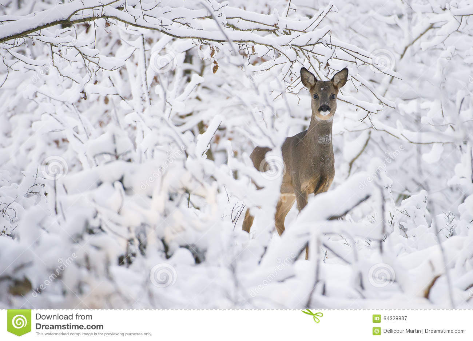 Cervos de ovas na neve durante o inverno