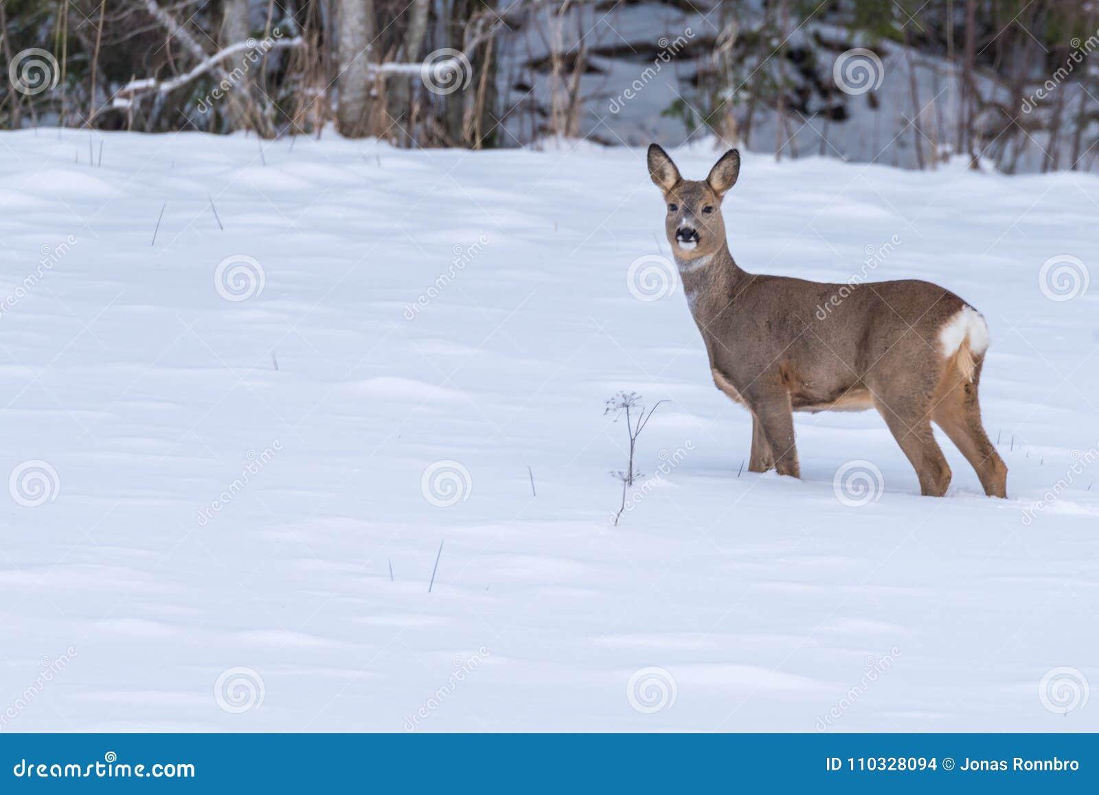 Cervos de ovas que andam na neve na Suécia