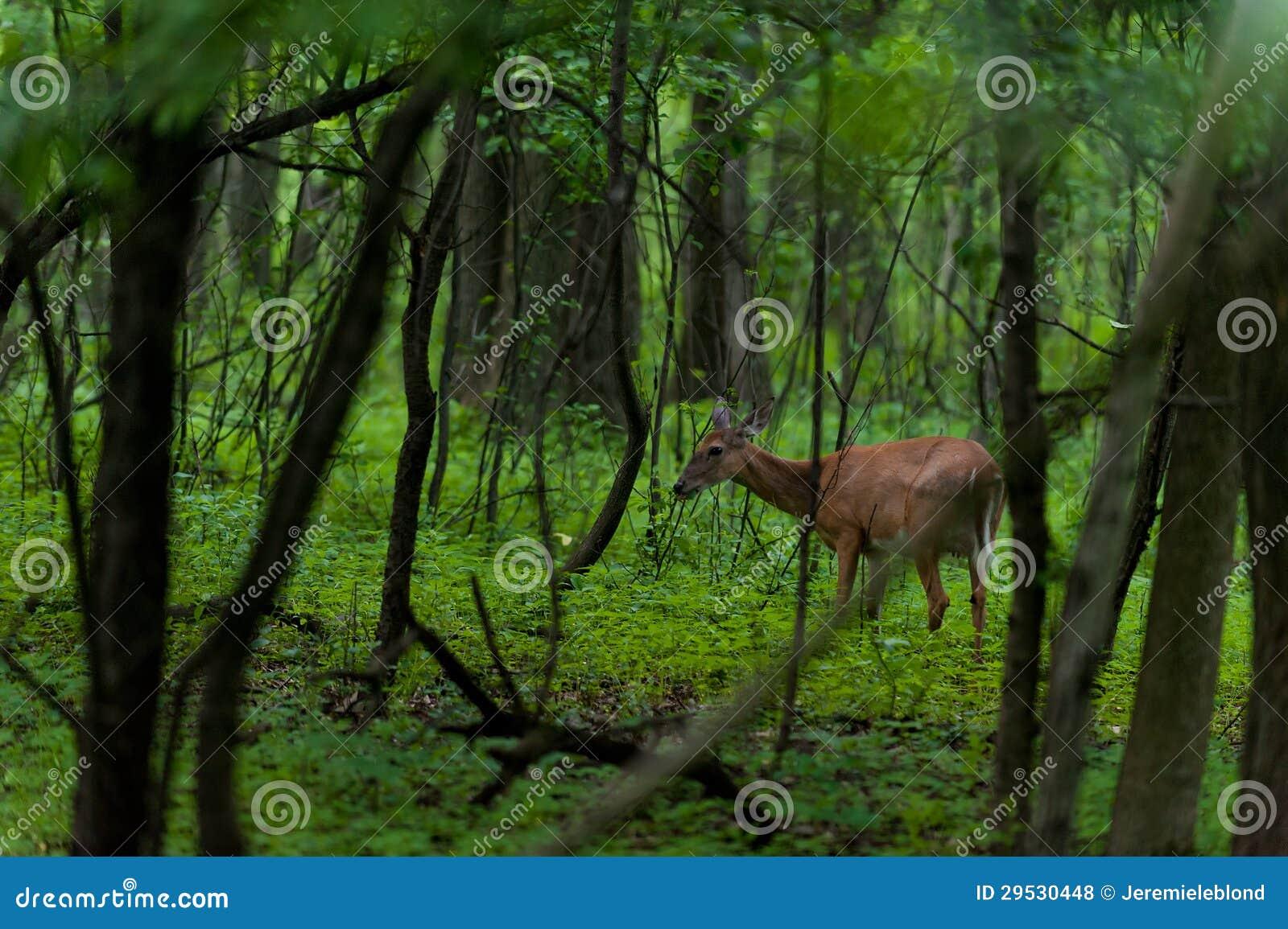 Cervos de Whitetail na floresta