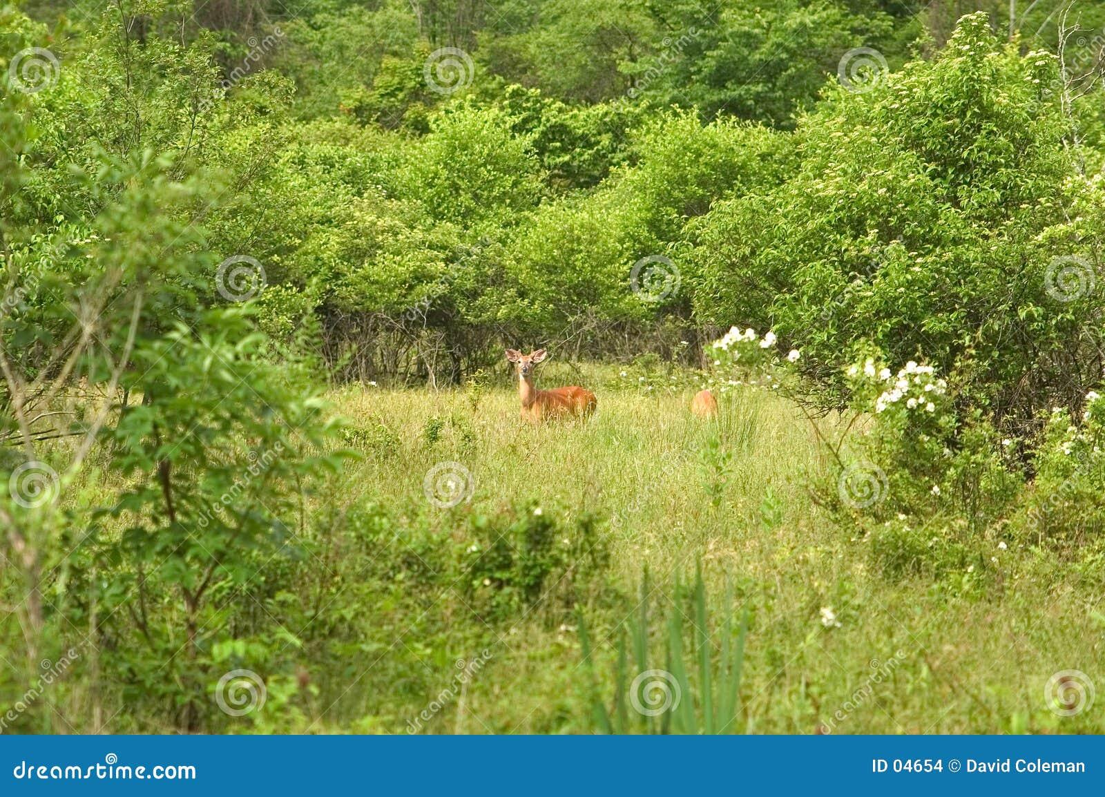 Cervos em um prado
