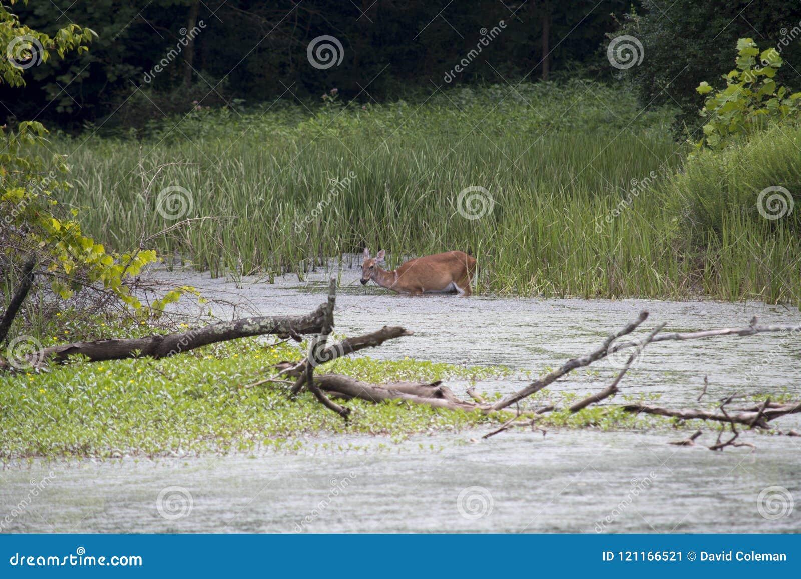 Cervos que alimentam em plantas aquáticas