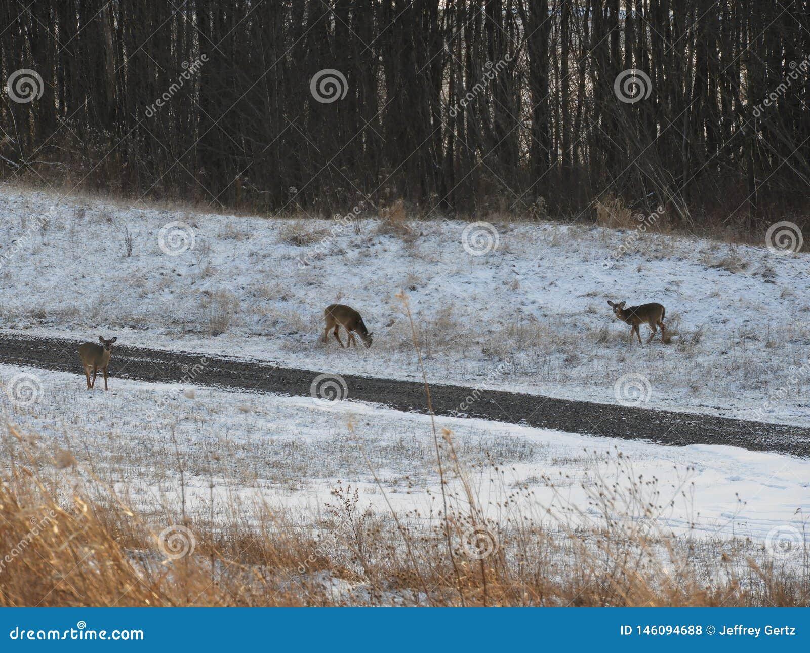 Cervos que alimentam na neve no fim da tarde
