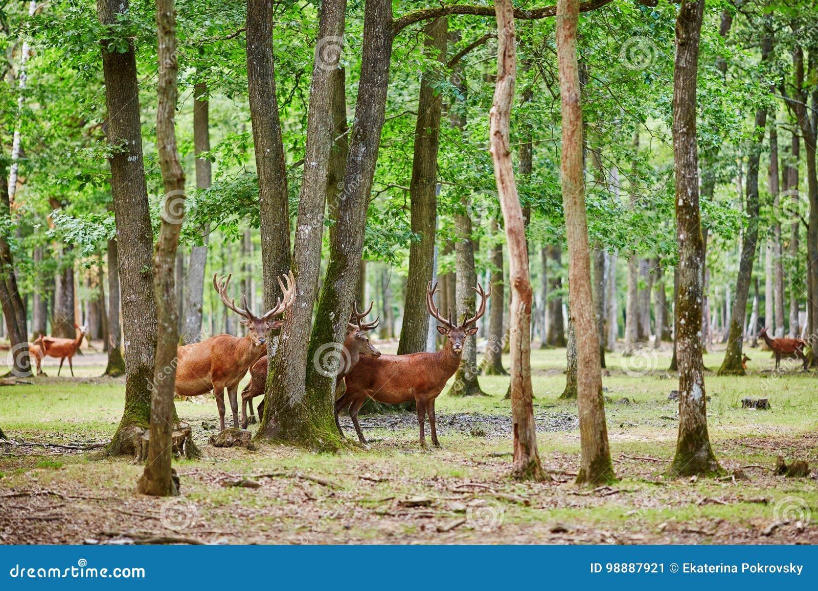 Cervos selvagens em pinho misturado e na floresta decíduo