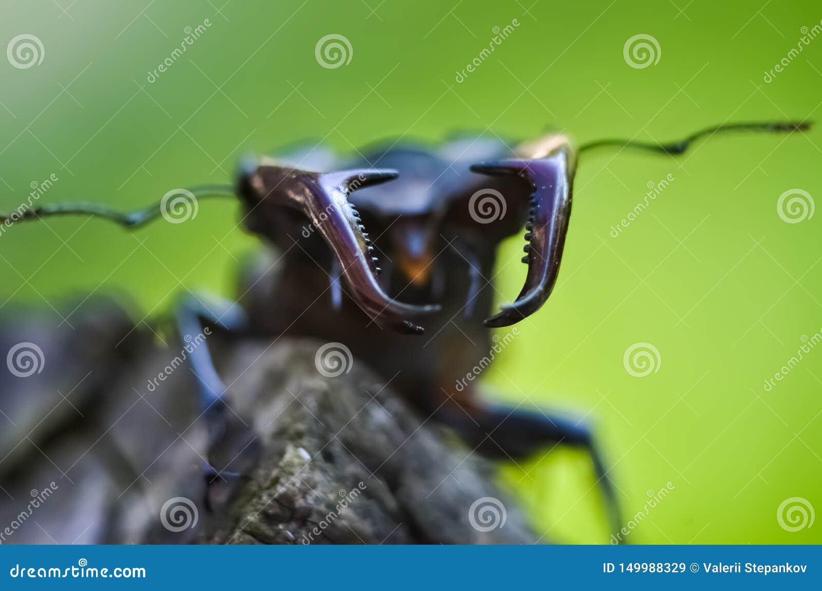 Cervus de Lucanus del escarabajo de macho en la madera Opini?n macra del insecto raro rojo de la lista, campo de la profundidad b