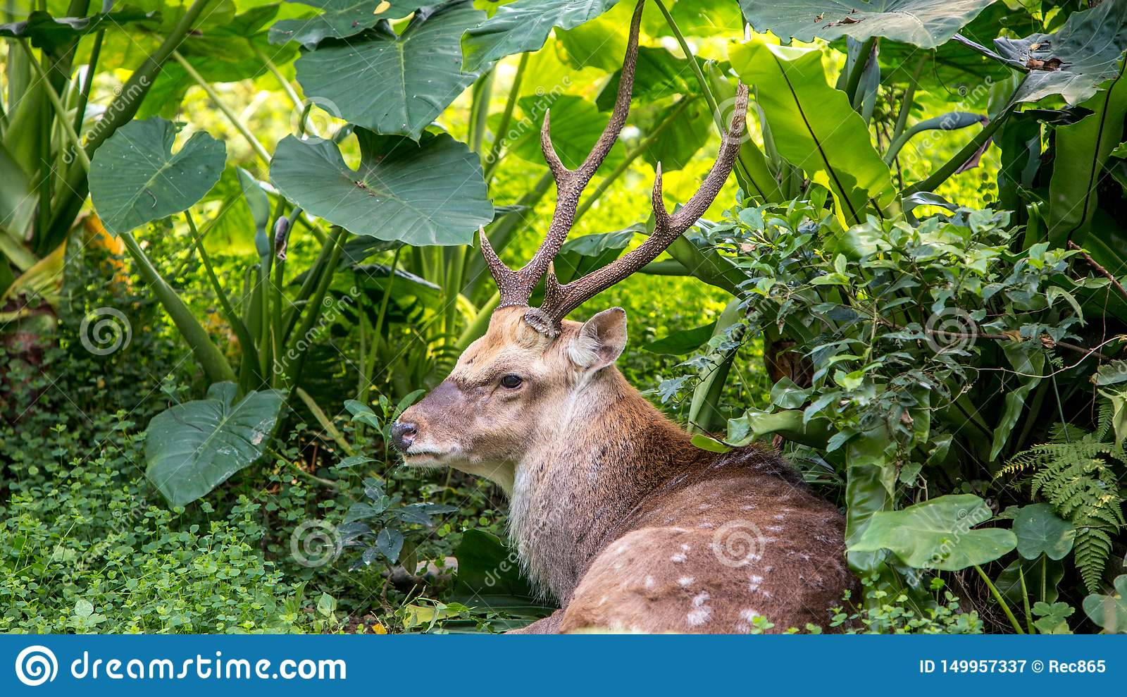 A cervus nippon, Sika Deer, resting lying among the trees and forest plants