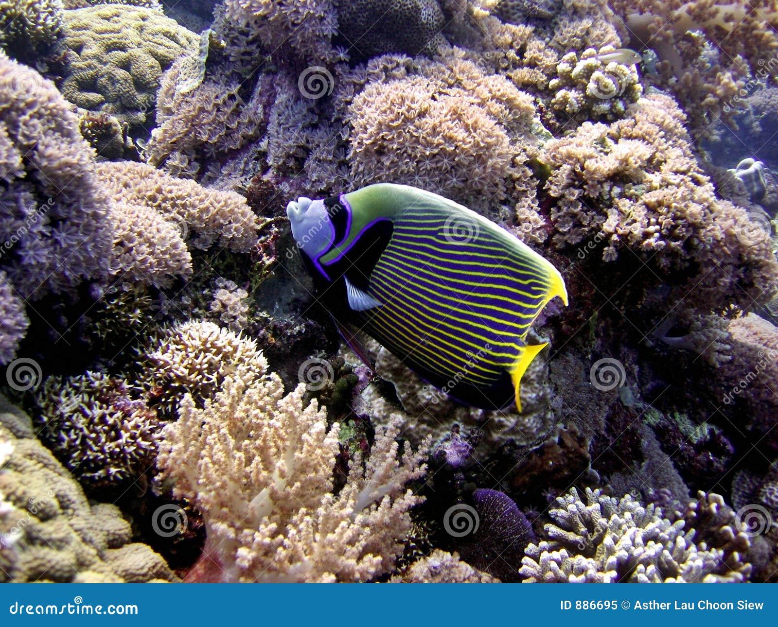 Cesarz angelfish