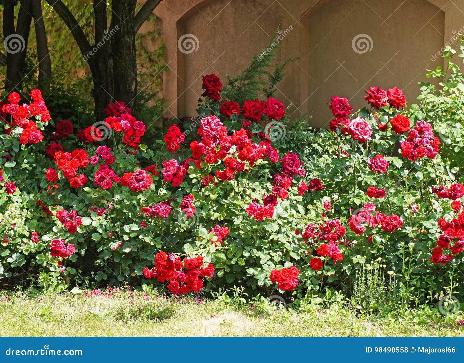Cespugli di rose nel giardino