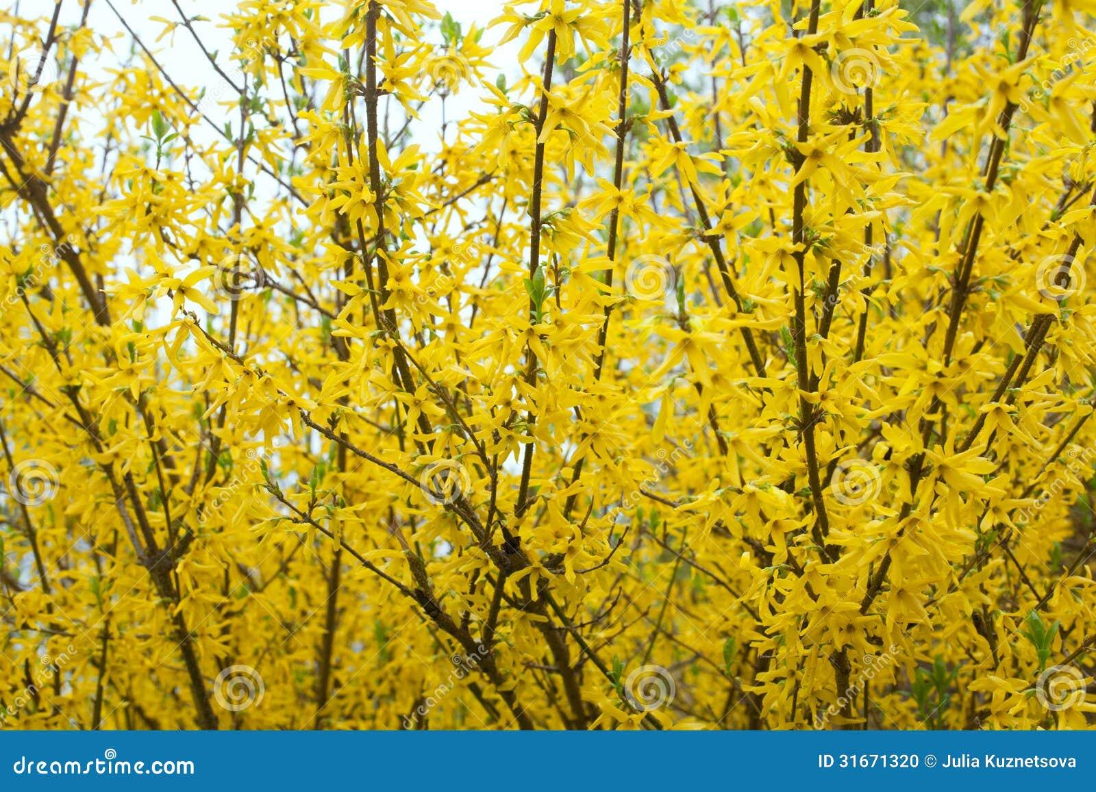 Cespugli gialli della fioritura della forsythia fotografia for Cespugli giardino