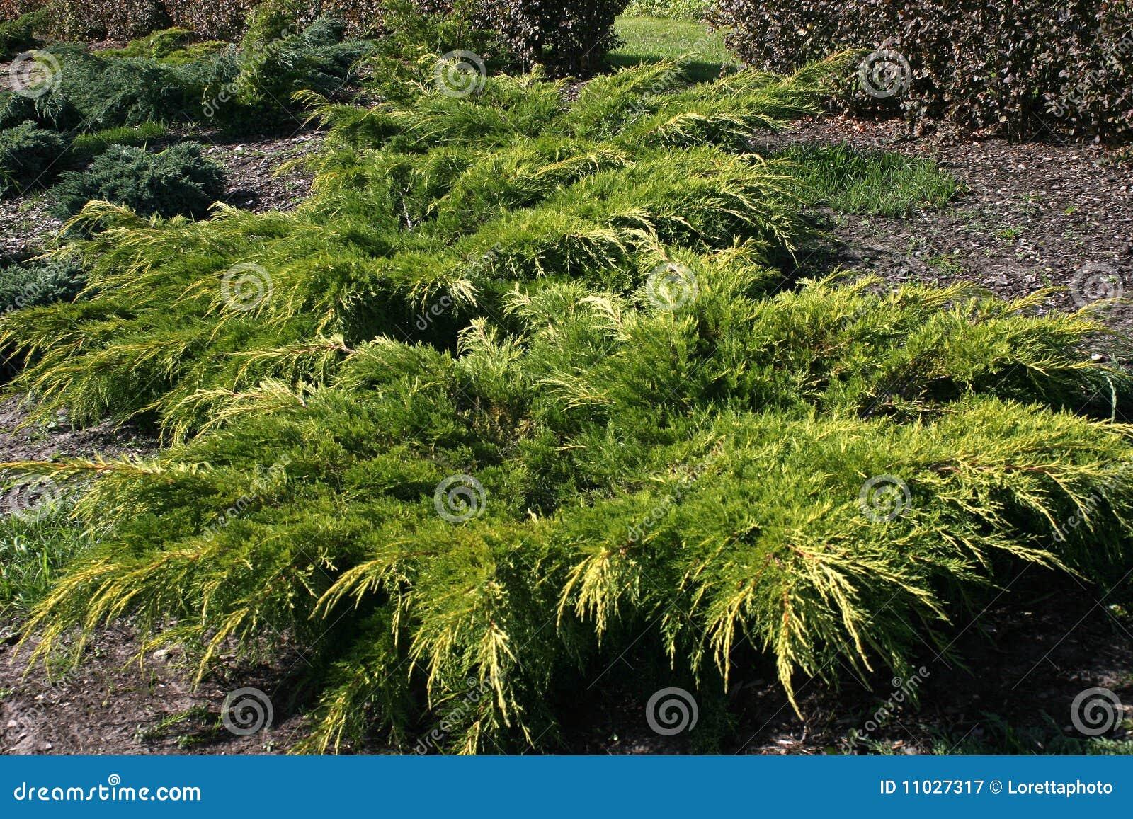 Cespugli ornamentali immagine stock immagine di ottimismo for Cespugli giardino