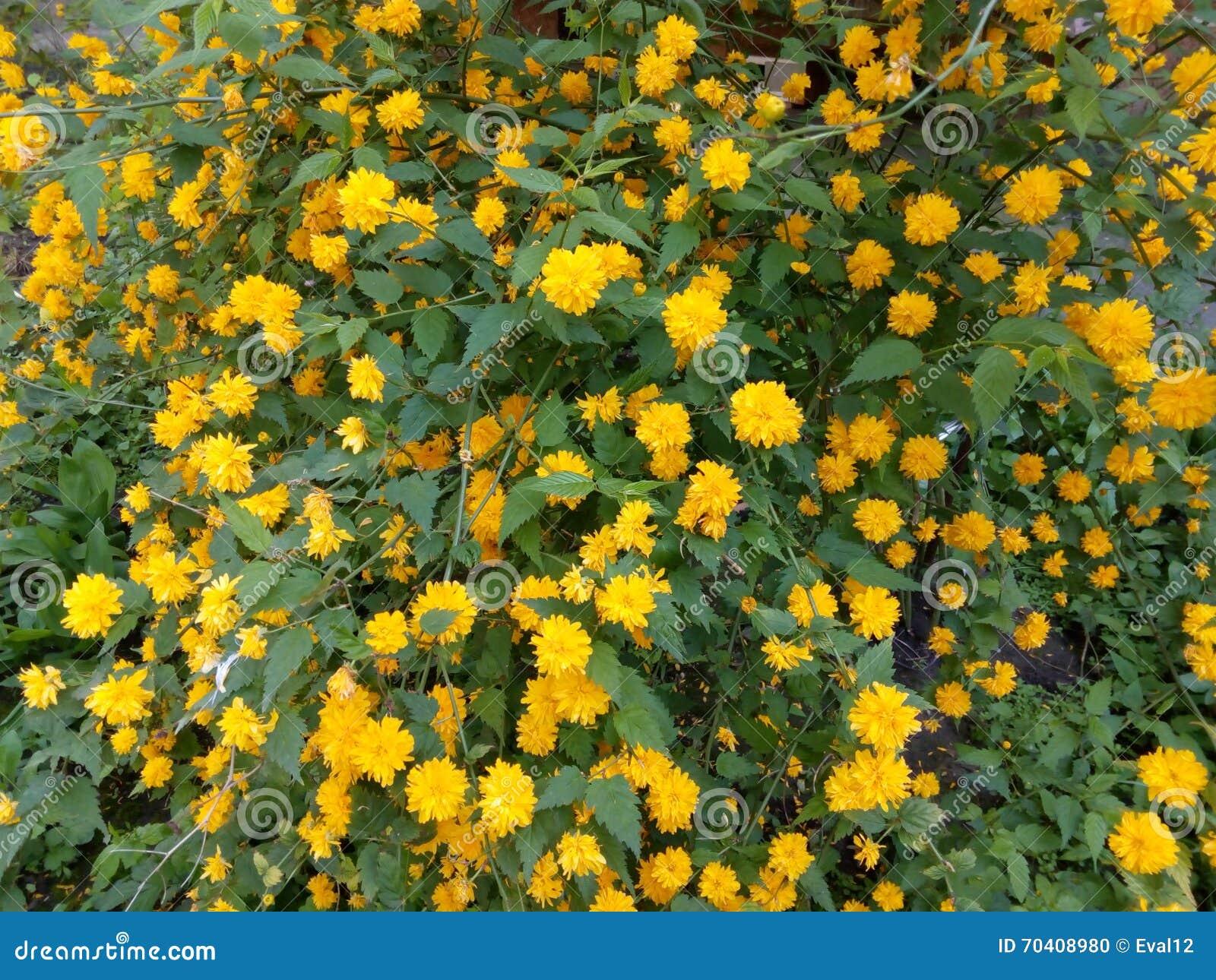 cespuglio della primavera con i fiori e le foglie verdi