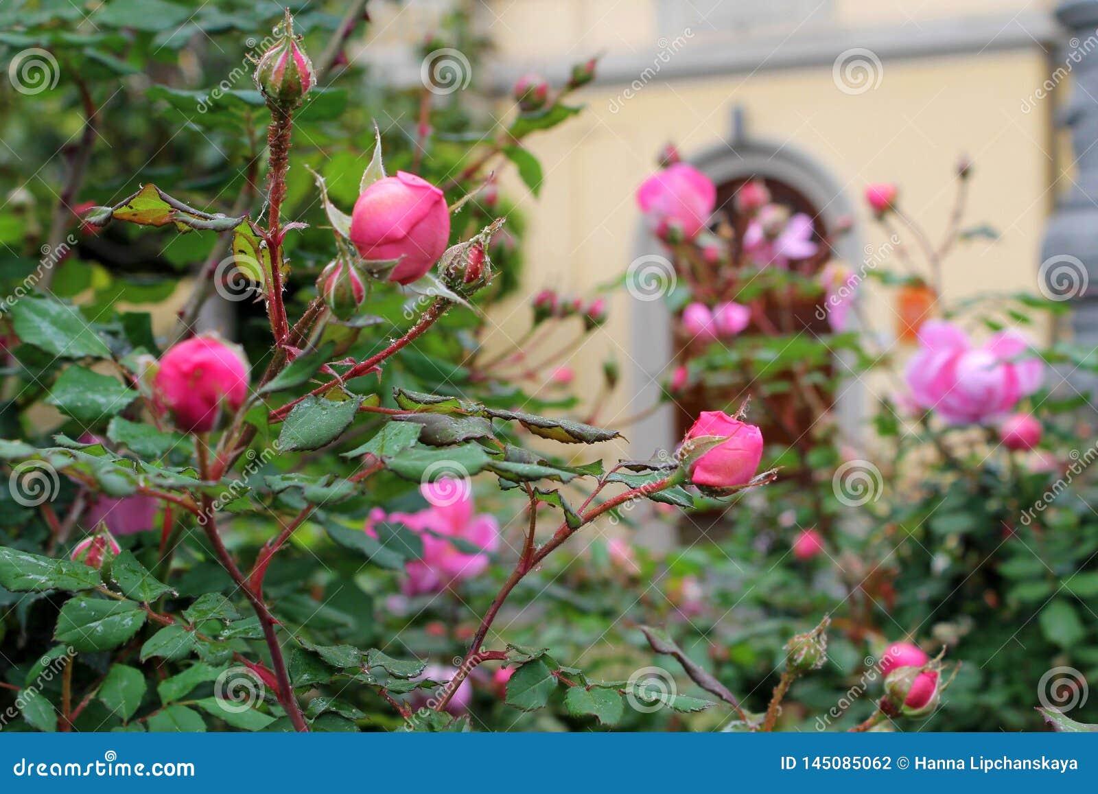 Cespuglio della primavera della rosa selvatica