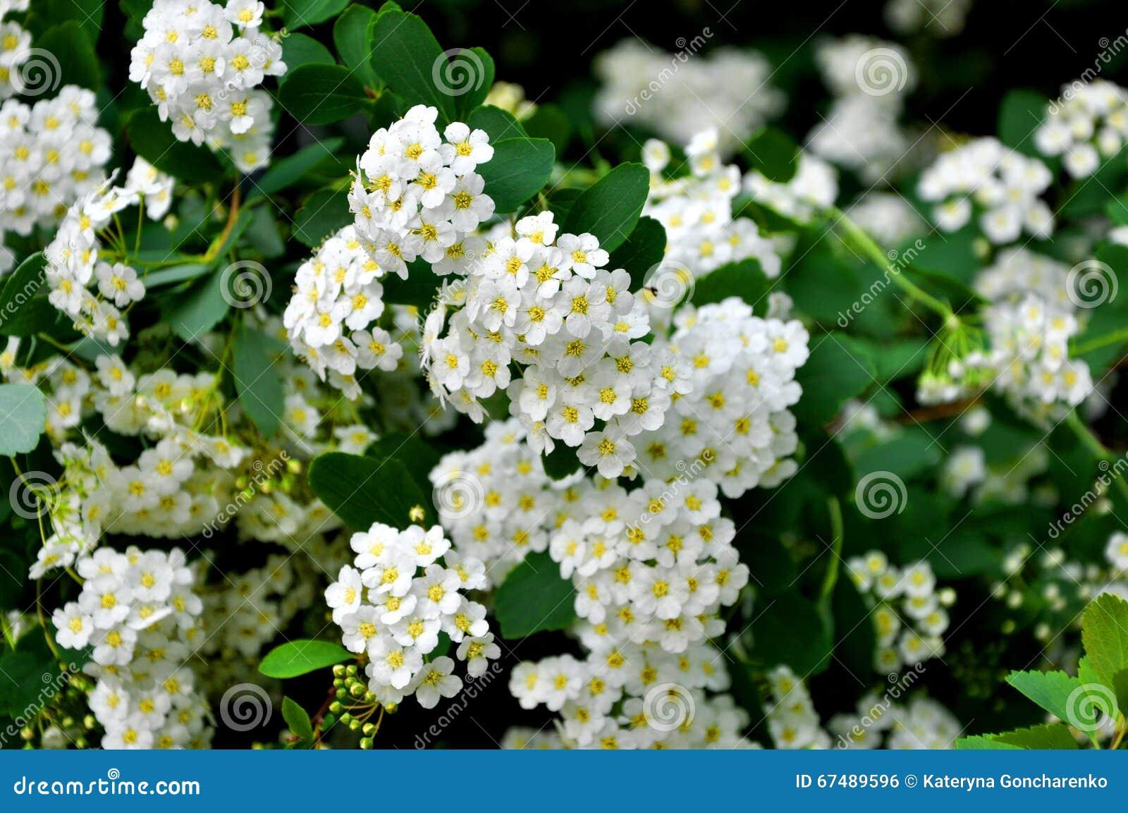 cespuglio di fioritura con i fiori bianchi fotografia
