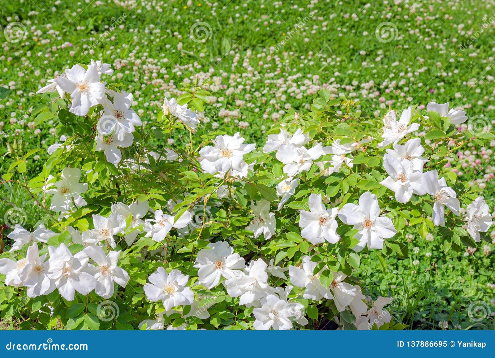 Piante Che Fioriscono Tutta Estate cespuglio di fioritura di una rosa che fiorisce in fiori