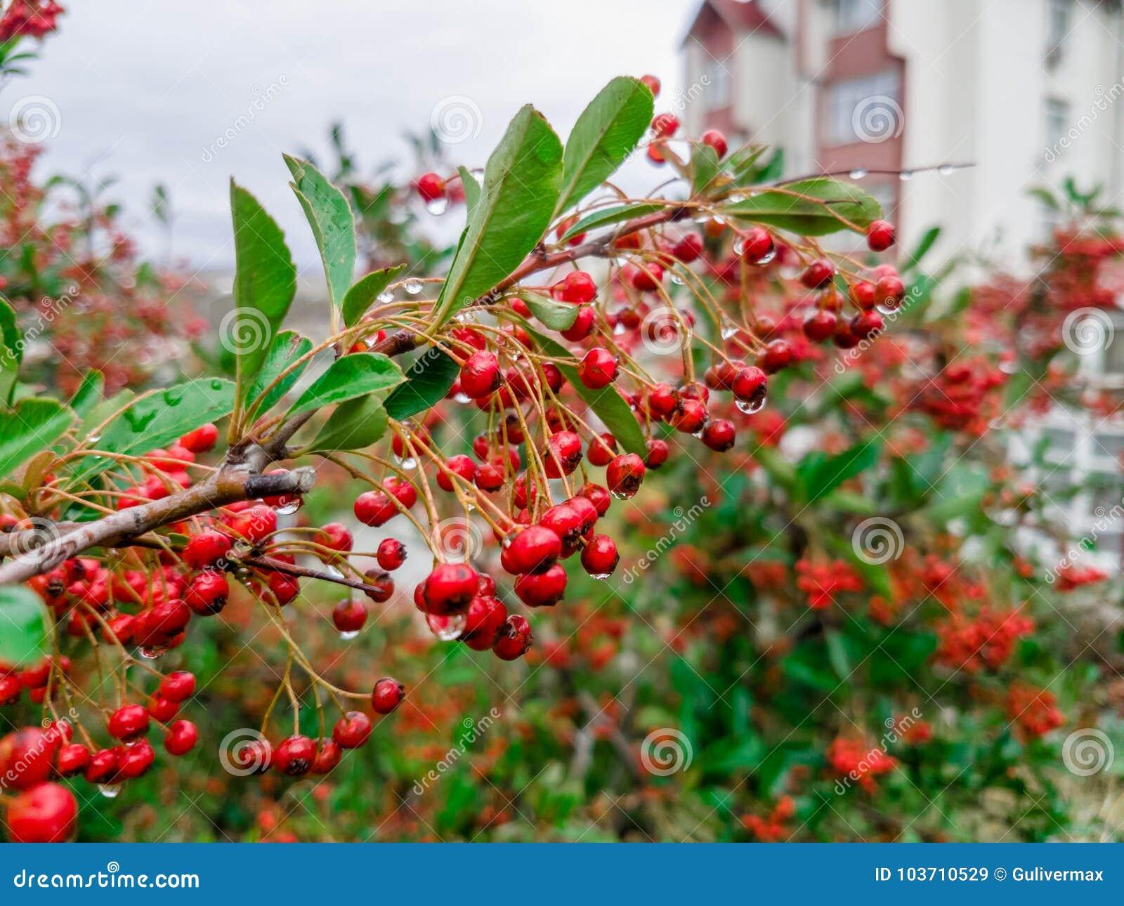 Pianta Ornamentale Con Bacche Rosse cespuglio ornamentale con le bacche rosse ed il fogliame