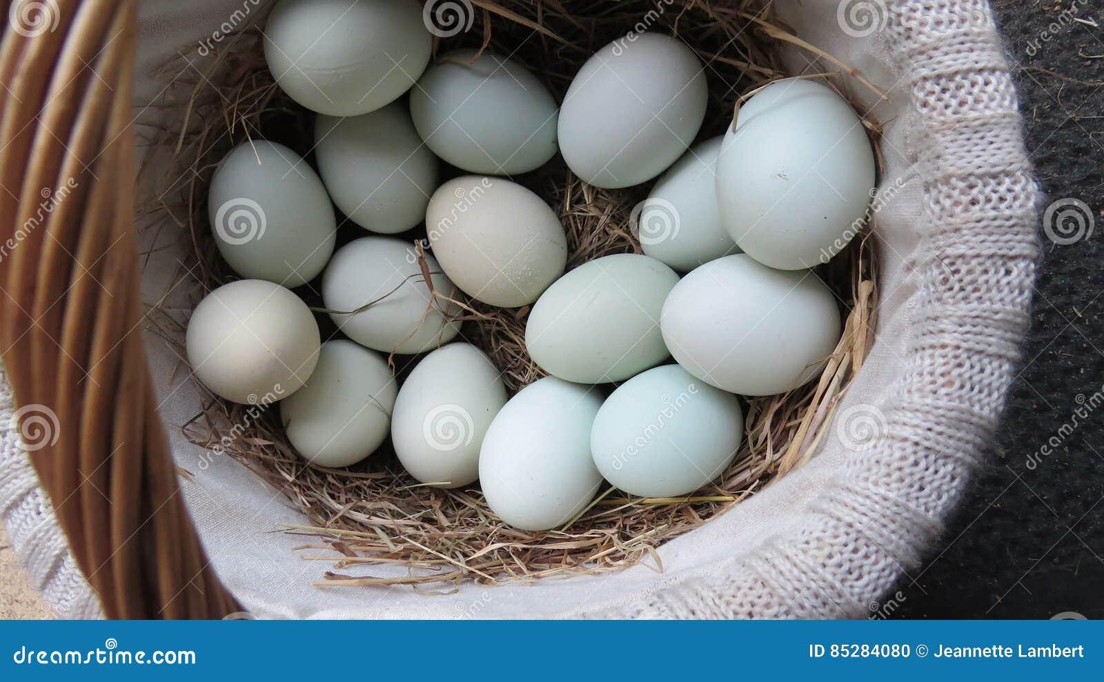 Cesta fresca de ovos azuis