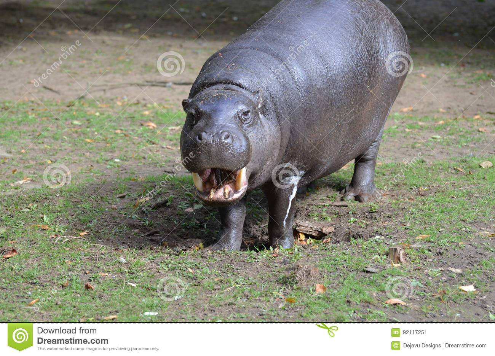 Cet hippopotame pygméen sourit-il à vous ?