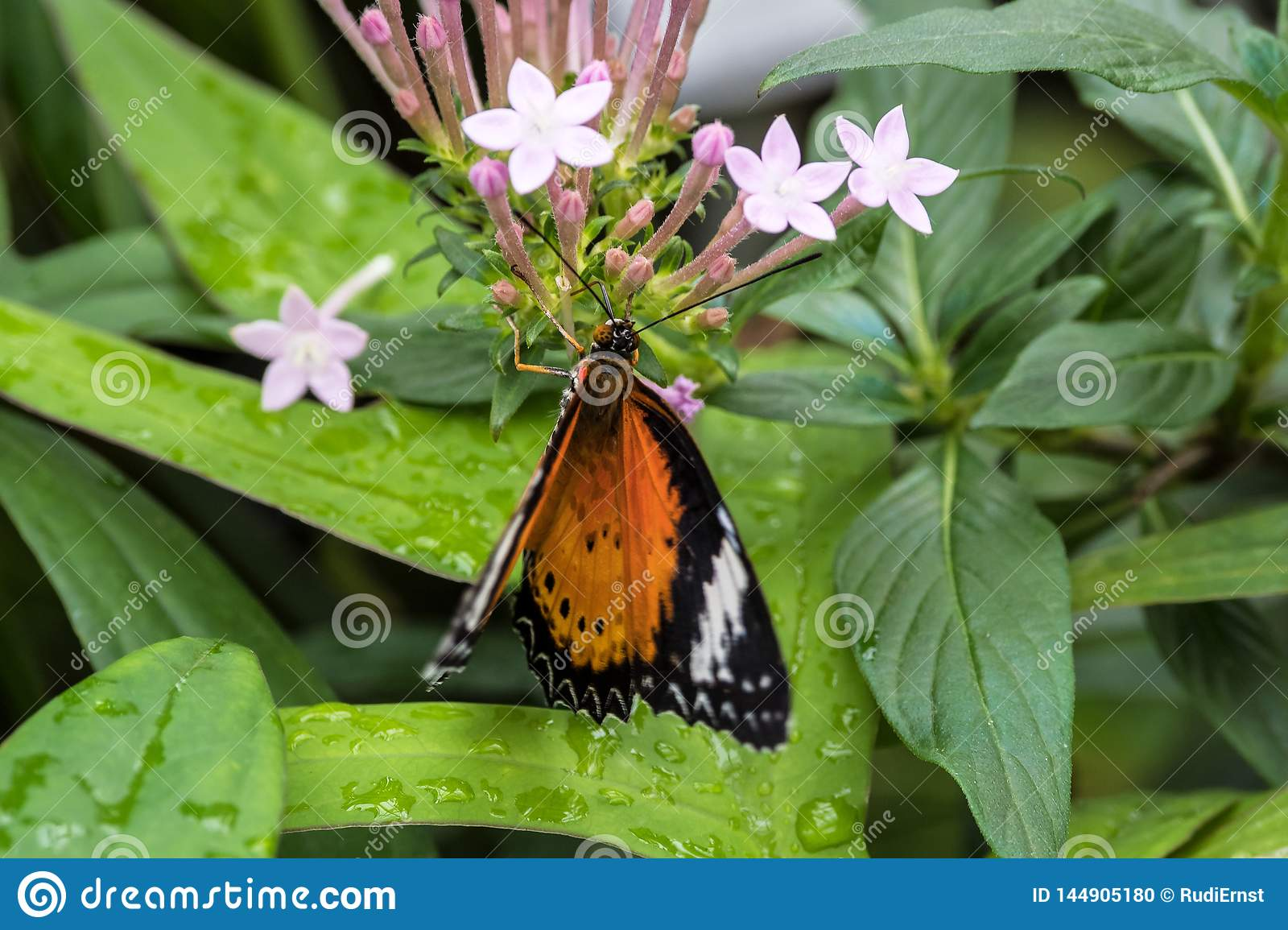 Cethosia cyane, the leopard lacewing, is a species of heliconiine butterfly