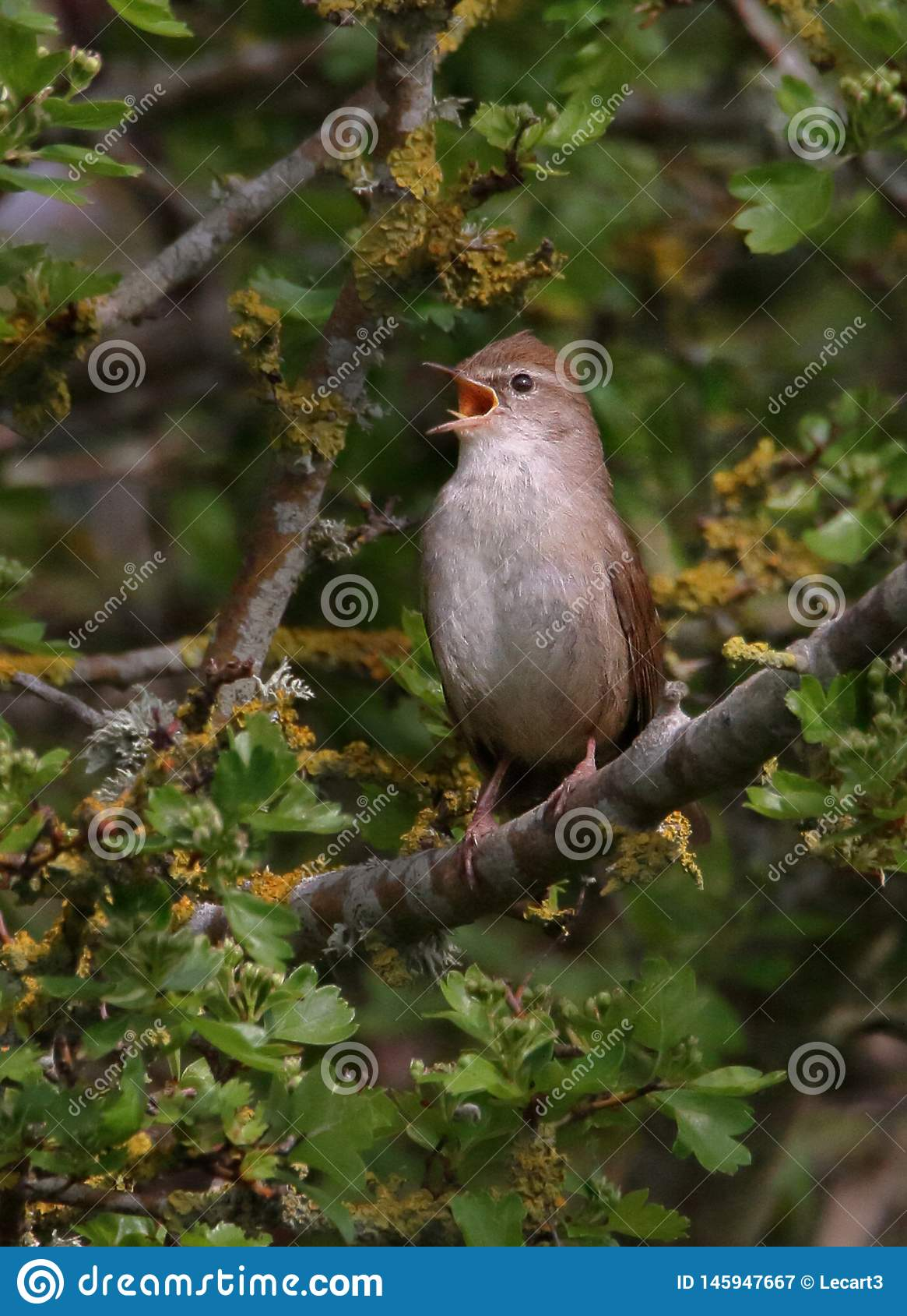 Cetti`s Warbler Singing With Gusto