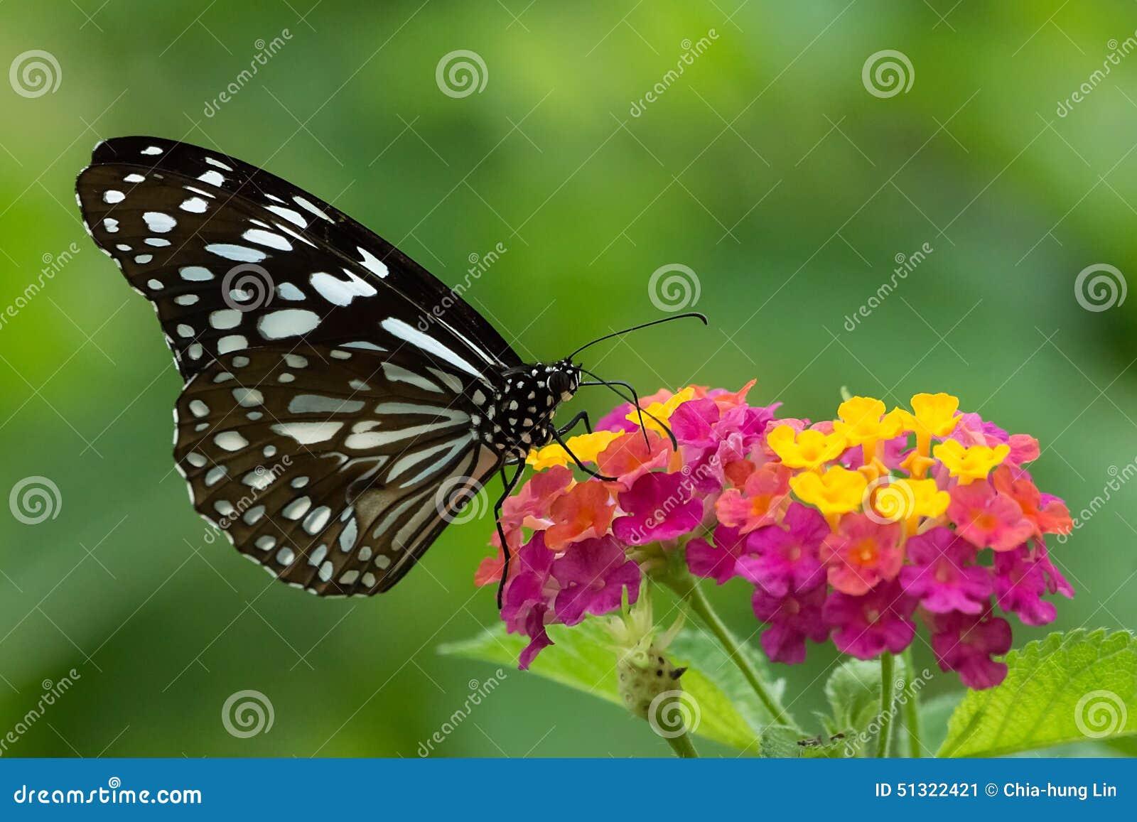 Ceylon blåa glas- en Tiger Butterfly Sucking Honey From färgrika blommor