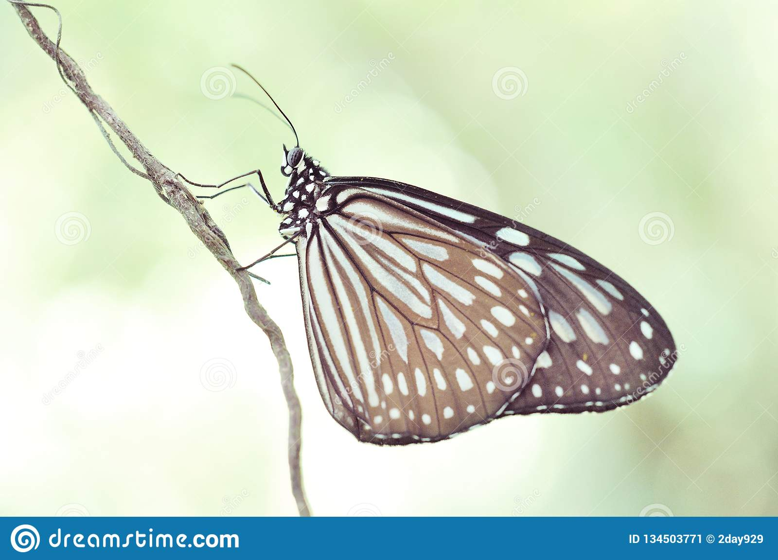 Ceylon blue glassy tiger butterfly - Ideopsis similis