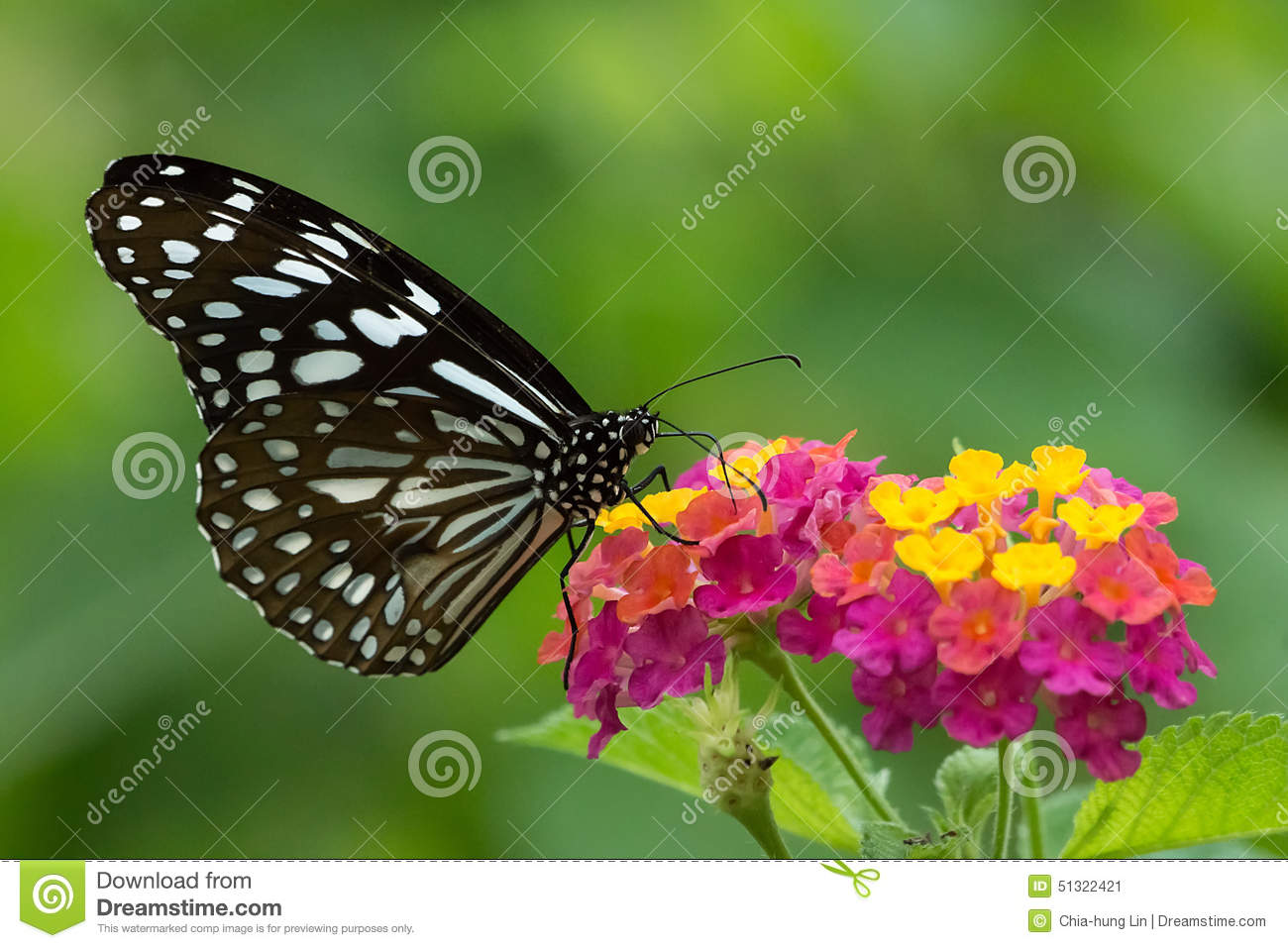 A Ceylon Blue Glassy Tiger Butterfly Sucking Honey From Colorful Flowers.