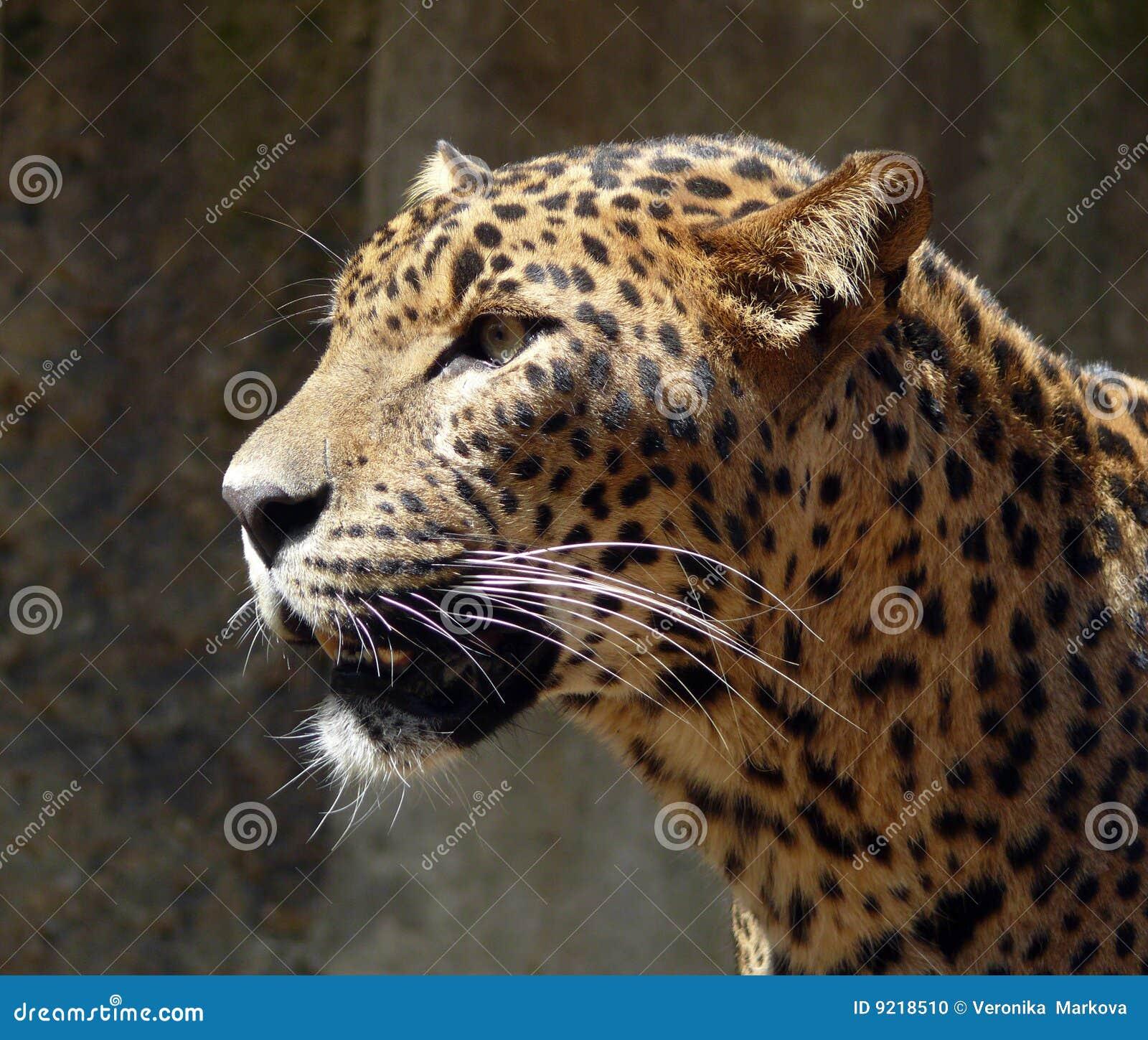 Ceylon-Leopard