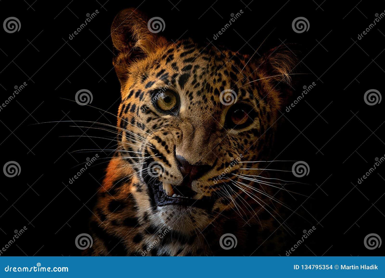 Ceylon leopard - Panthera pardus kotiya