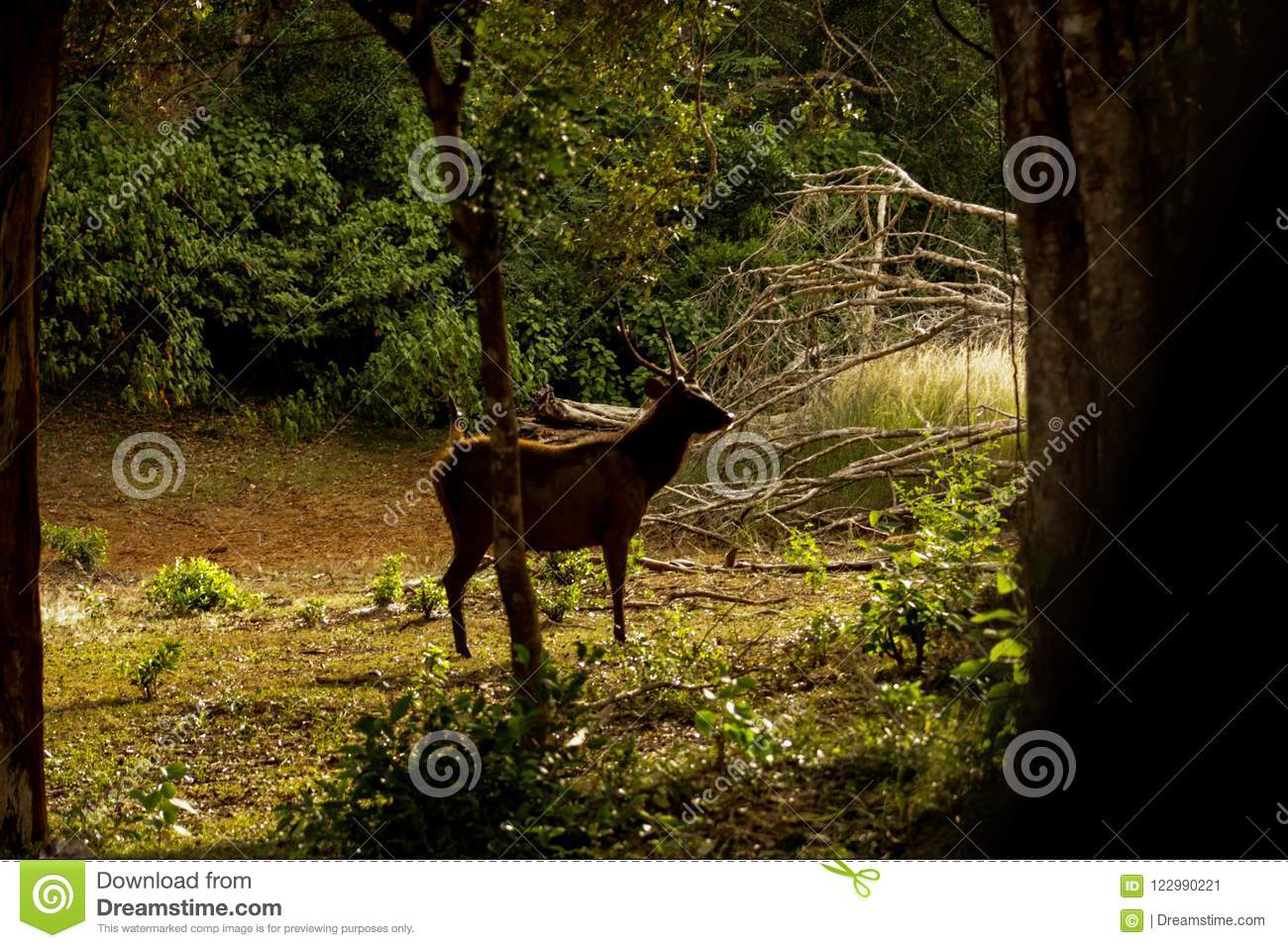 Ceylon Spotted Deer , Wilpattu National Park, Sri Lanka