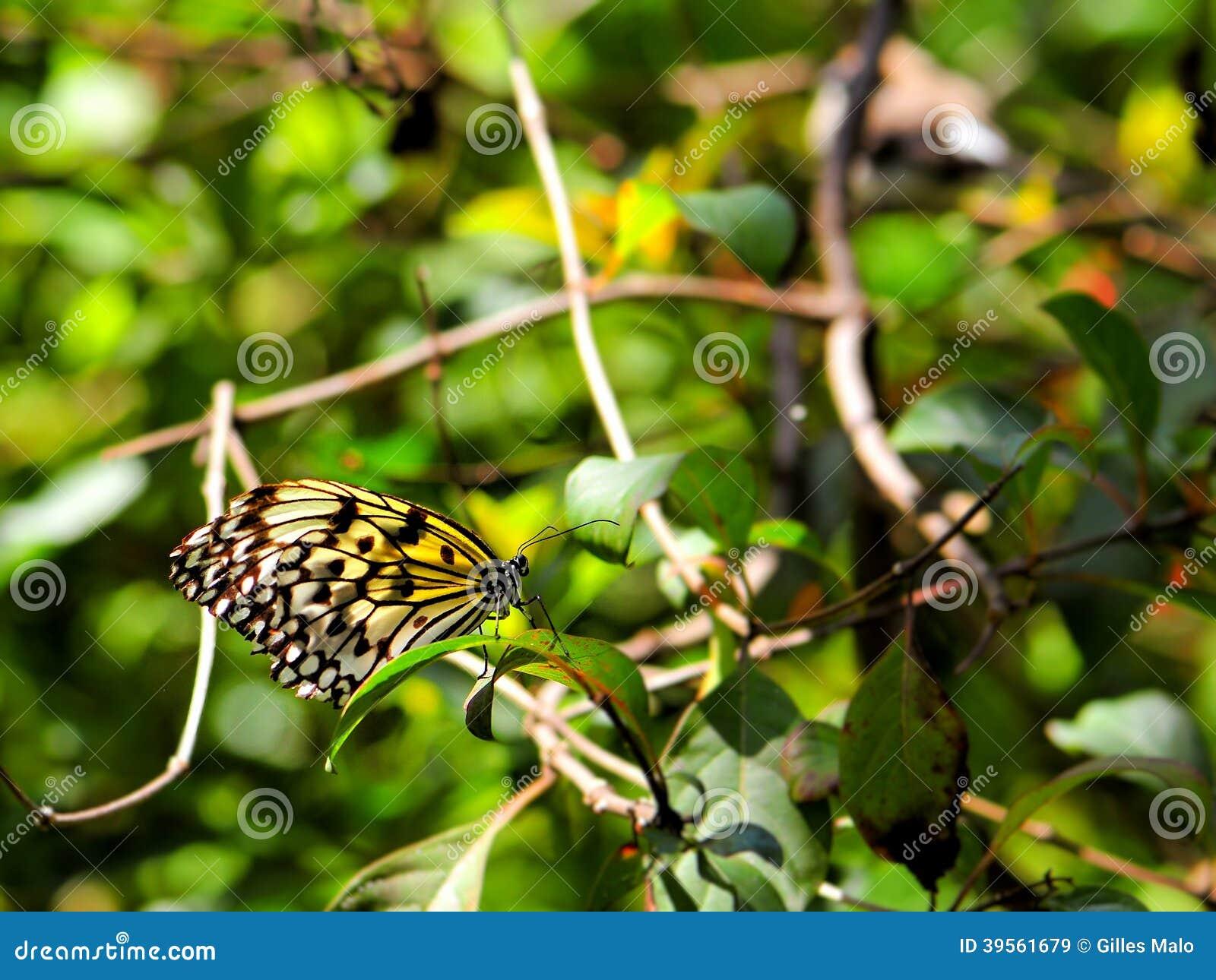 Ceylon Träd-nymf fjäril på bladet
