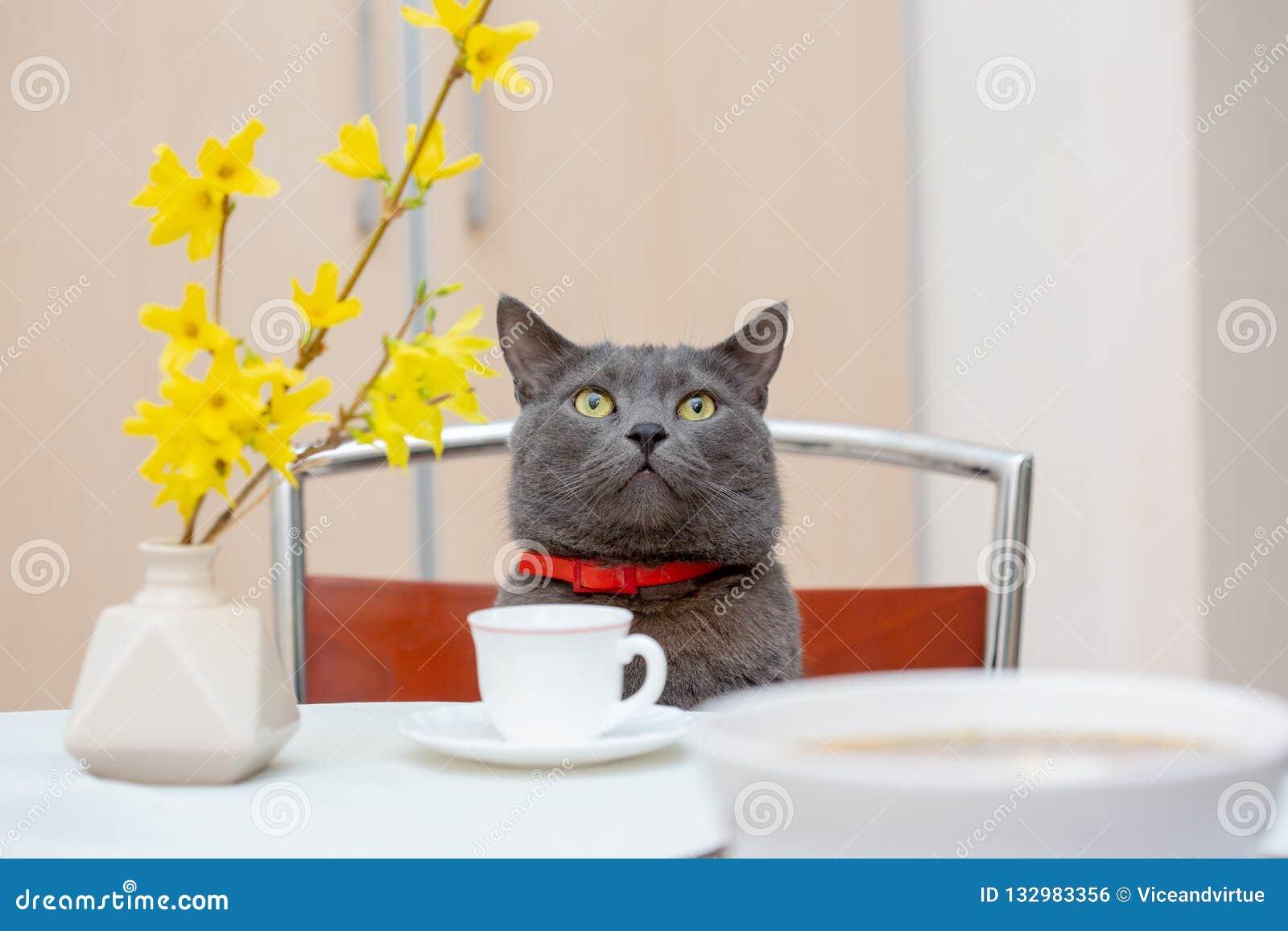 Chá bebendo junto com o gato cinzento adorável