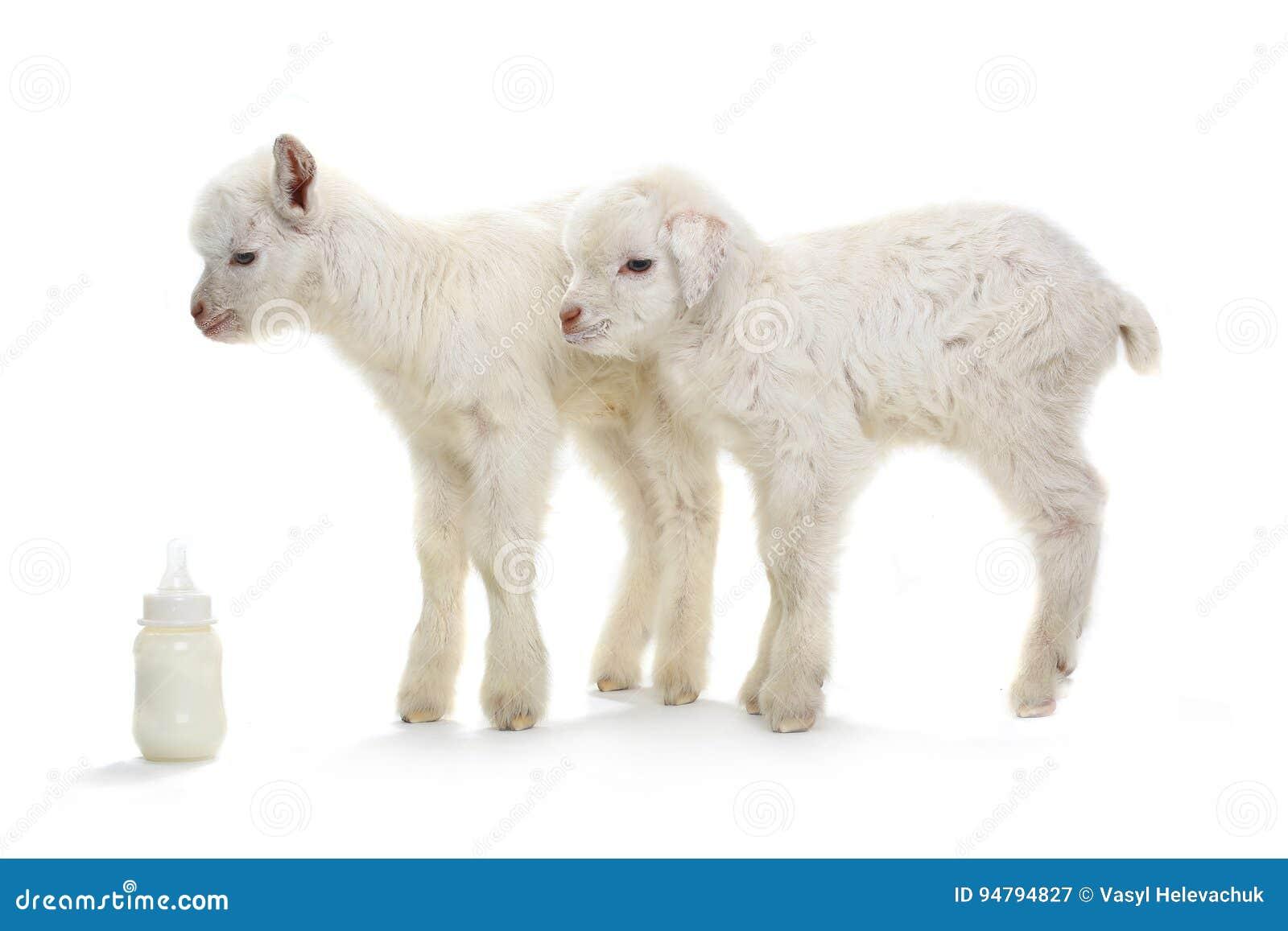 Chèvre