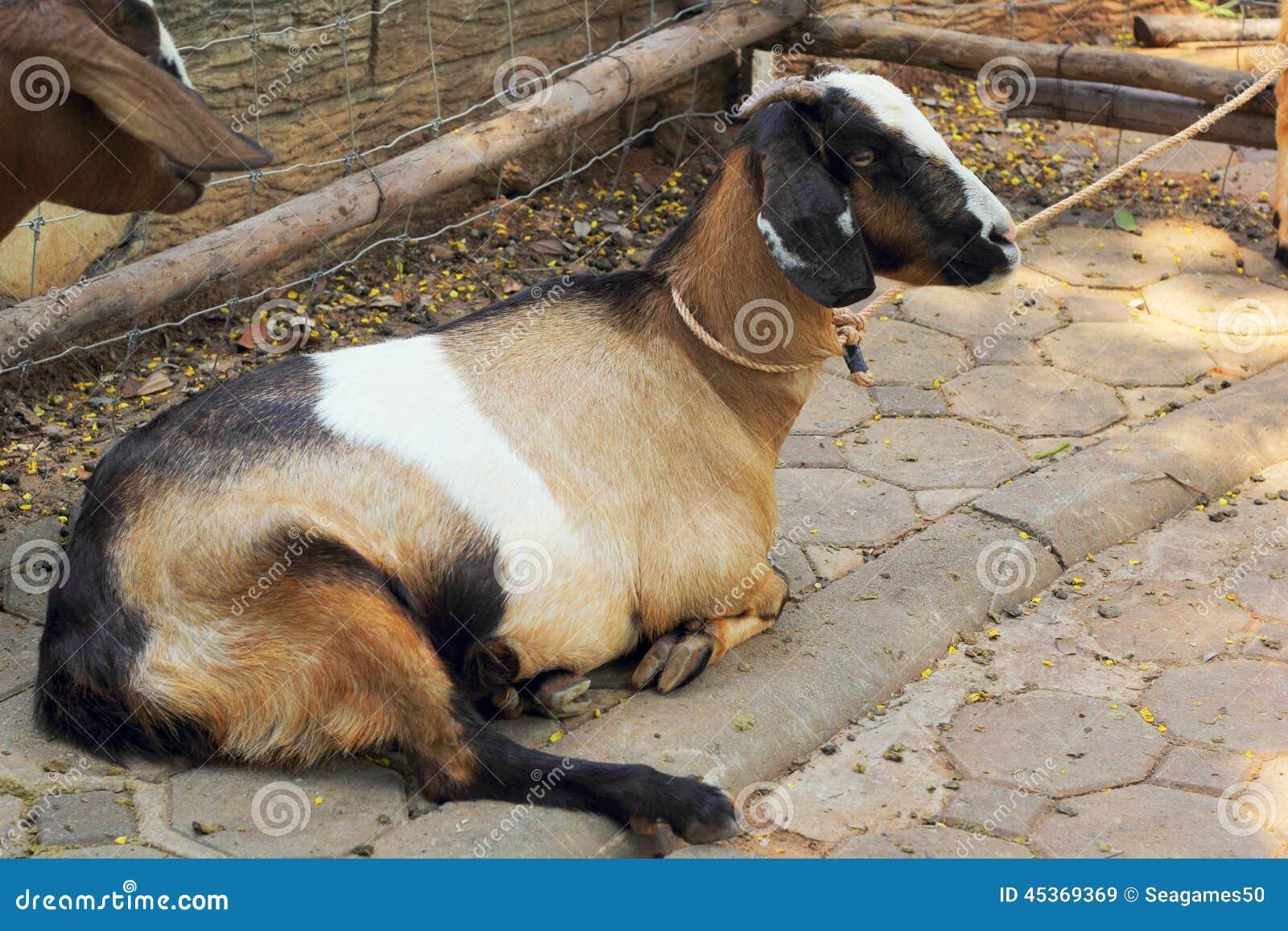 Chèvre dans la ferme avec la nature