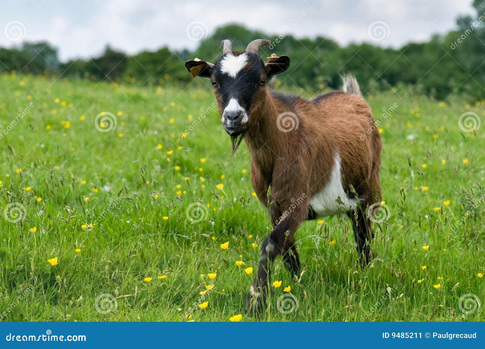Chèvre dans un domaine