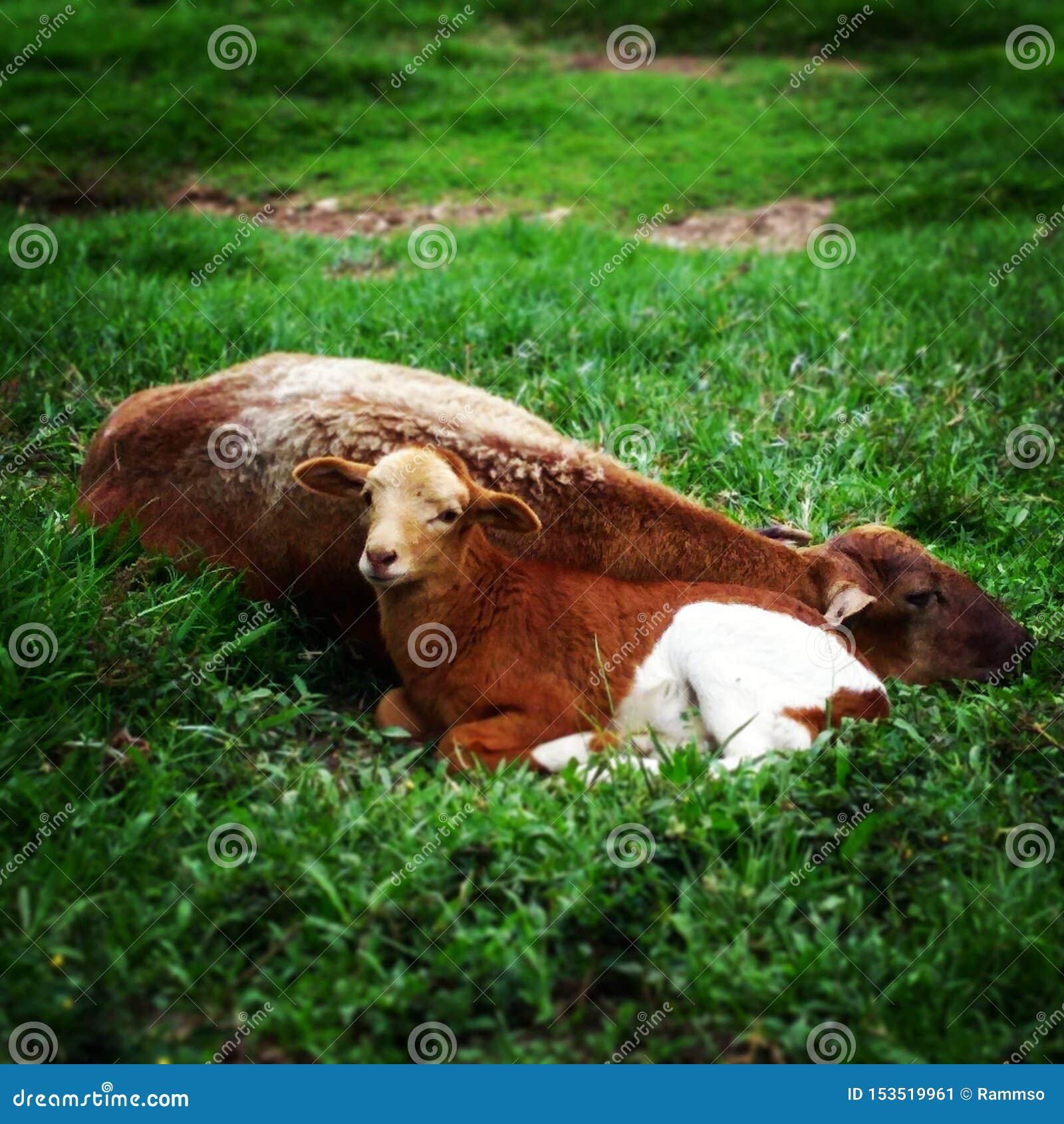 Chèvre de bébé dans la Hacienda Napoles Medellín Colombie