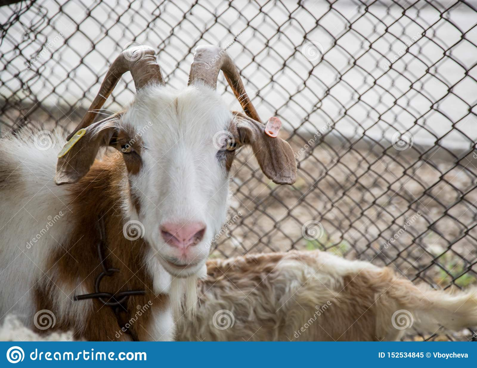 Chèvre de Motley regardant la caméra, portrait animal dans l arrière-cour avec la barrière en métal derrière