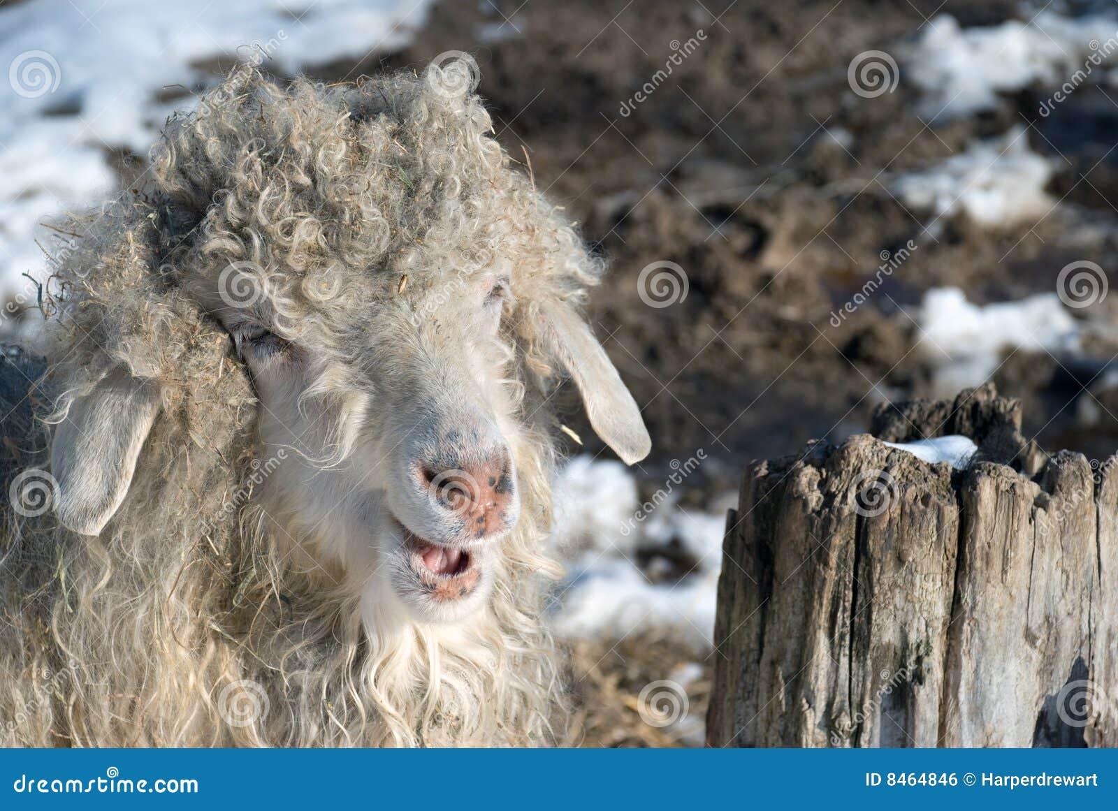 Chèvre de sourire d angora