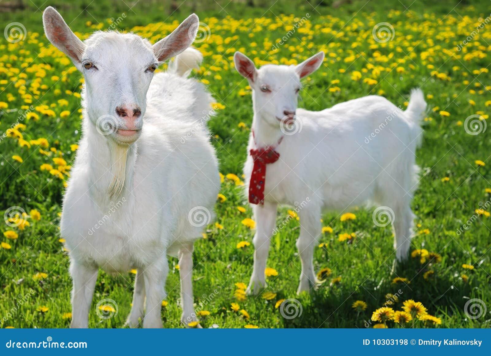 -chèvre et goatling