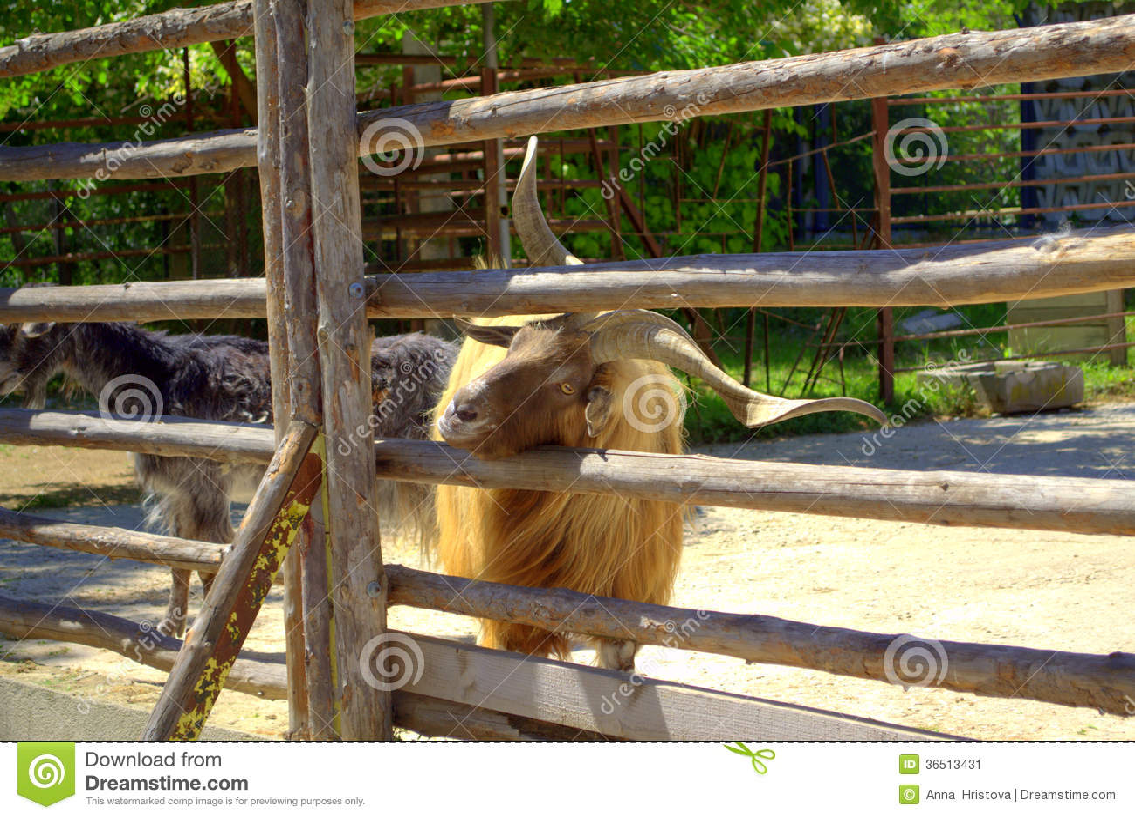 Chèvre masculine curieuse