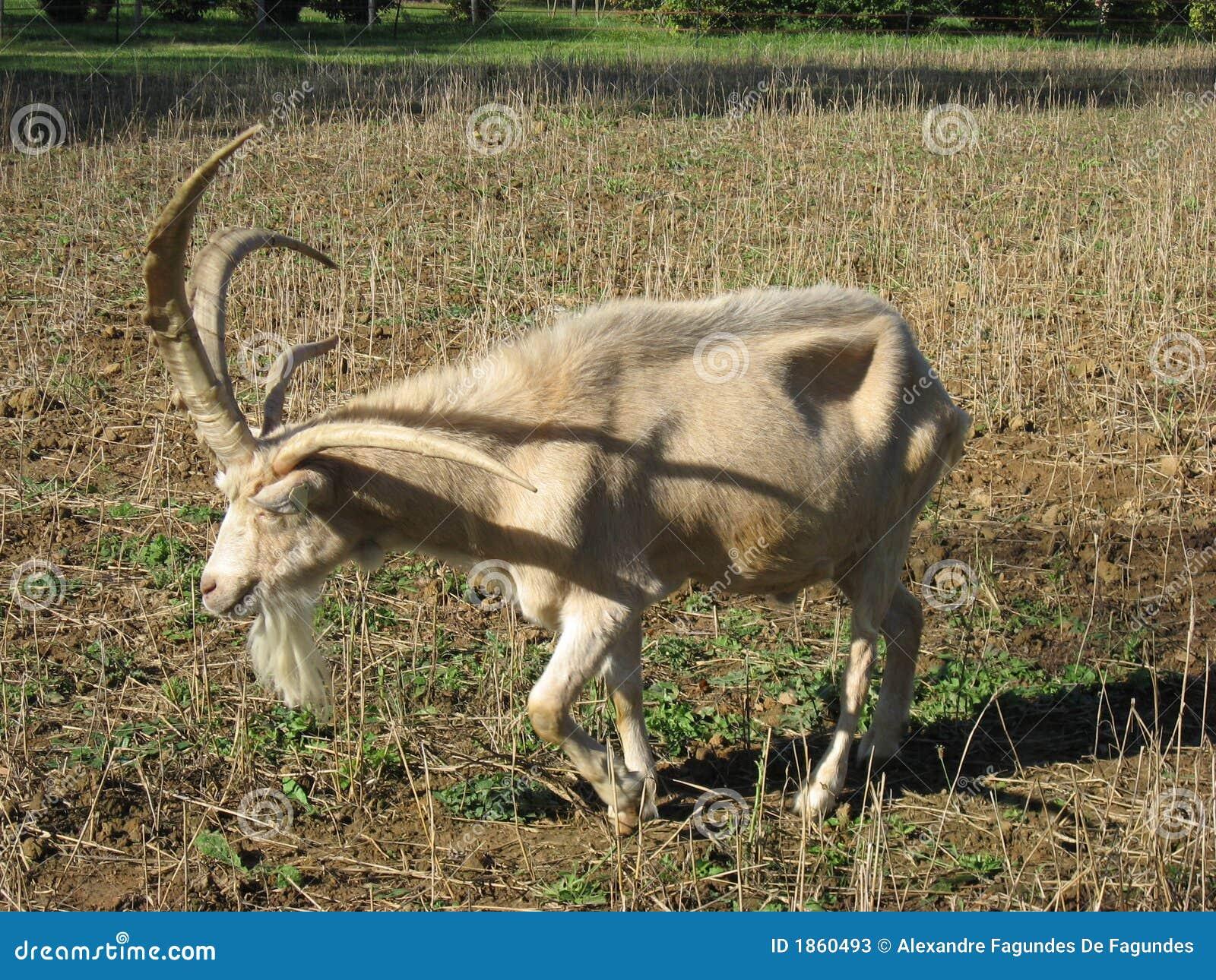 Chèvre quatre à cornes
