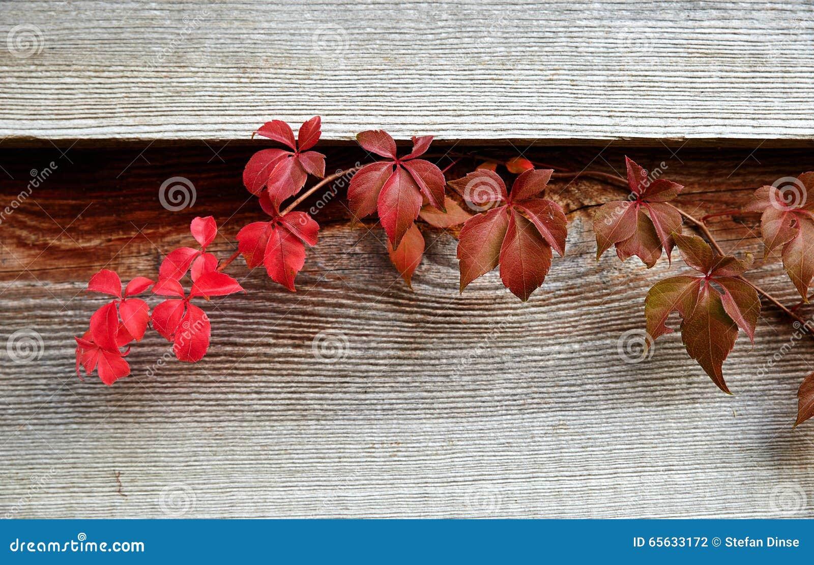 Chèvrefeuille en automne