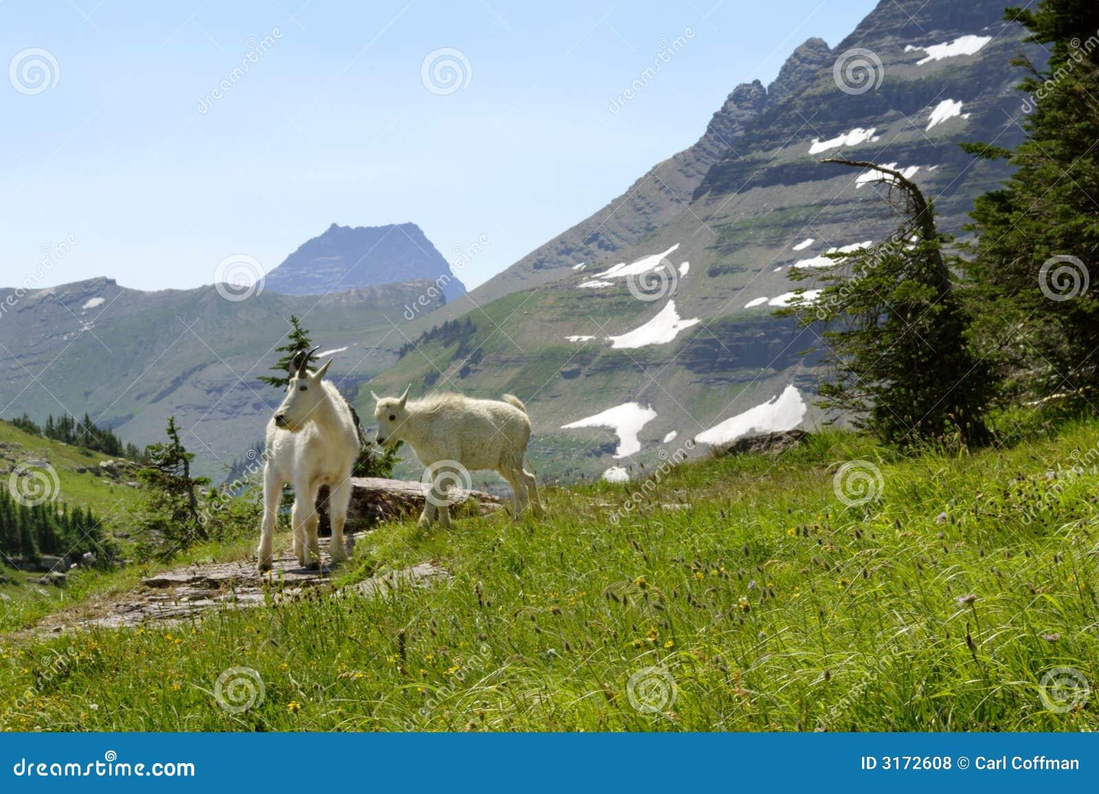 Chèvres de montagne B 8-07