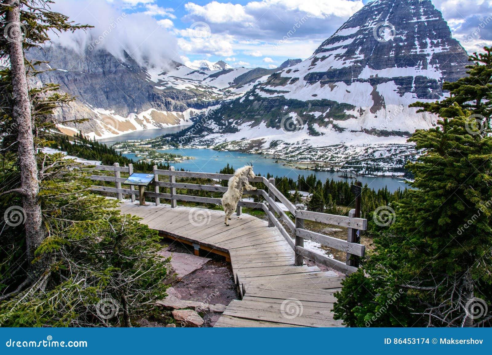 Chèvres de montagne et lac caché, parc national de glacier, Montana Etats-Unis