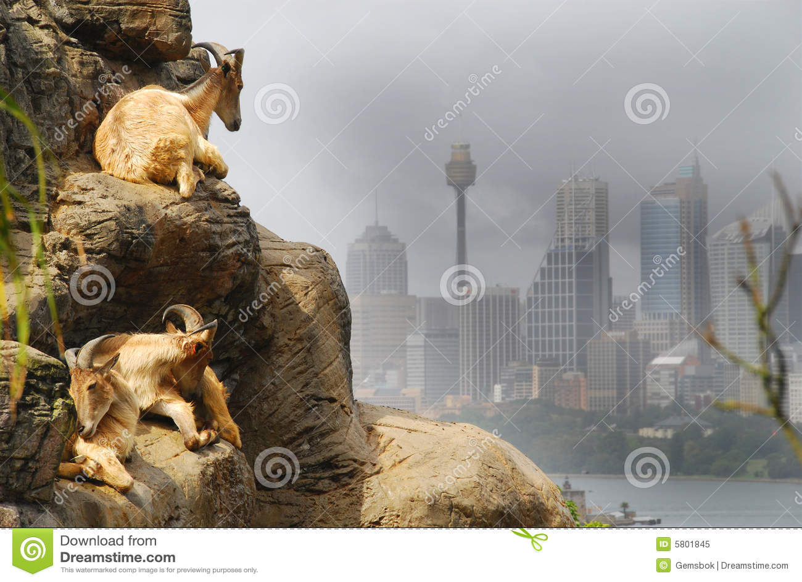 Chèvres de Sydney