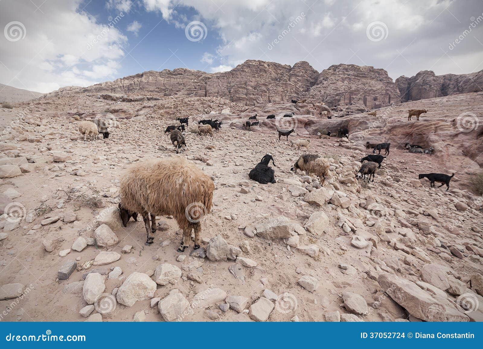 Chèvres et moutons dans le désert