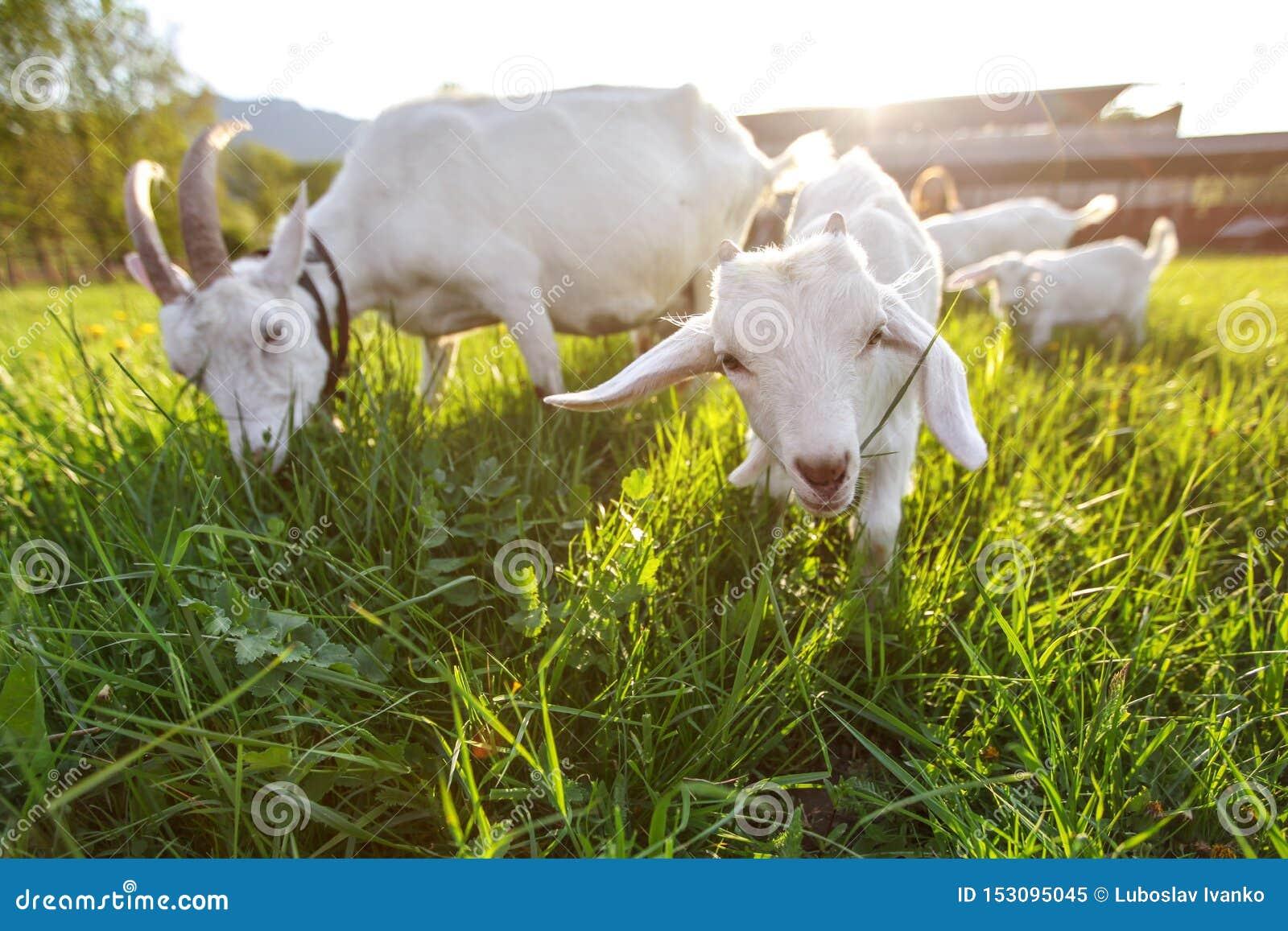 Chèvres frôlant sur l herbe fraîche, basse photo grande-angulaire avec le contre-jour fort du soleil