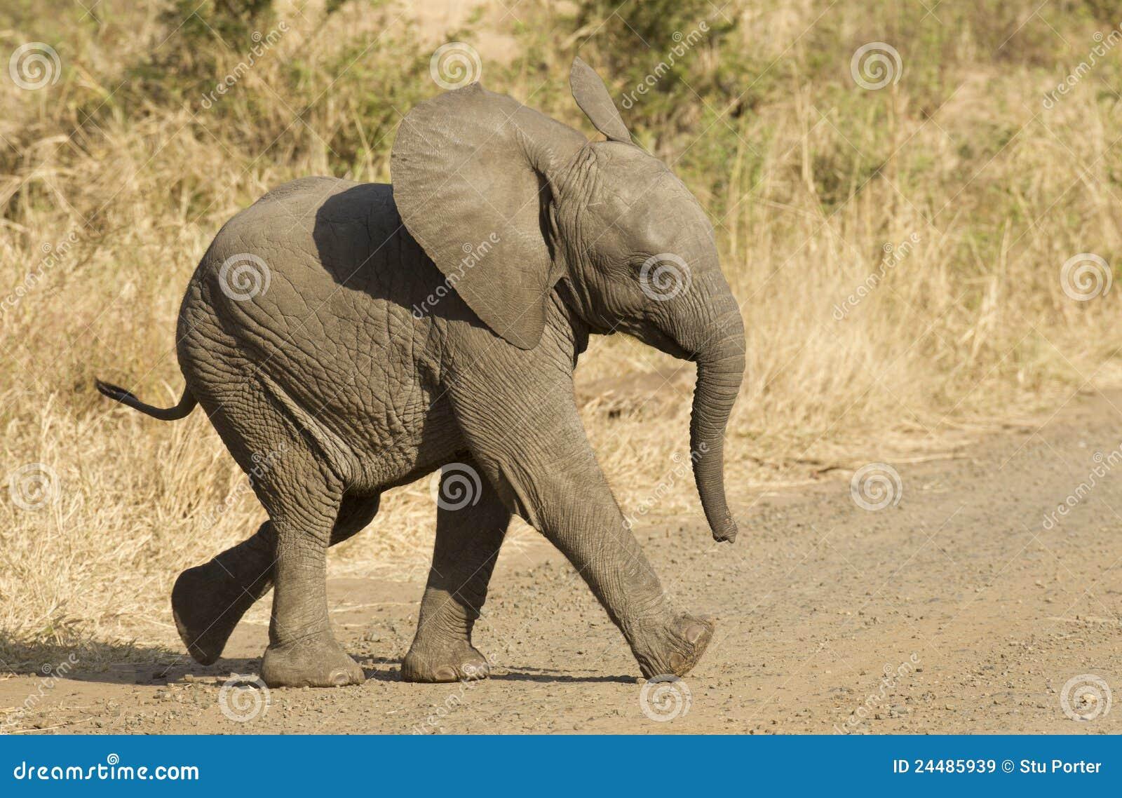 Chéri d éléphant africain, Afrique du Sud